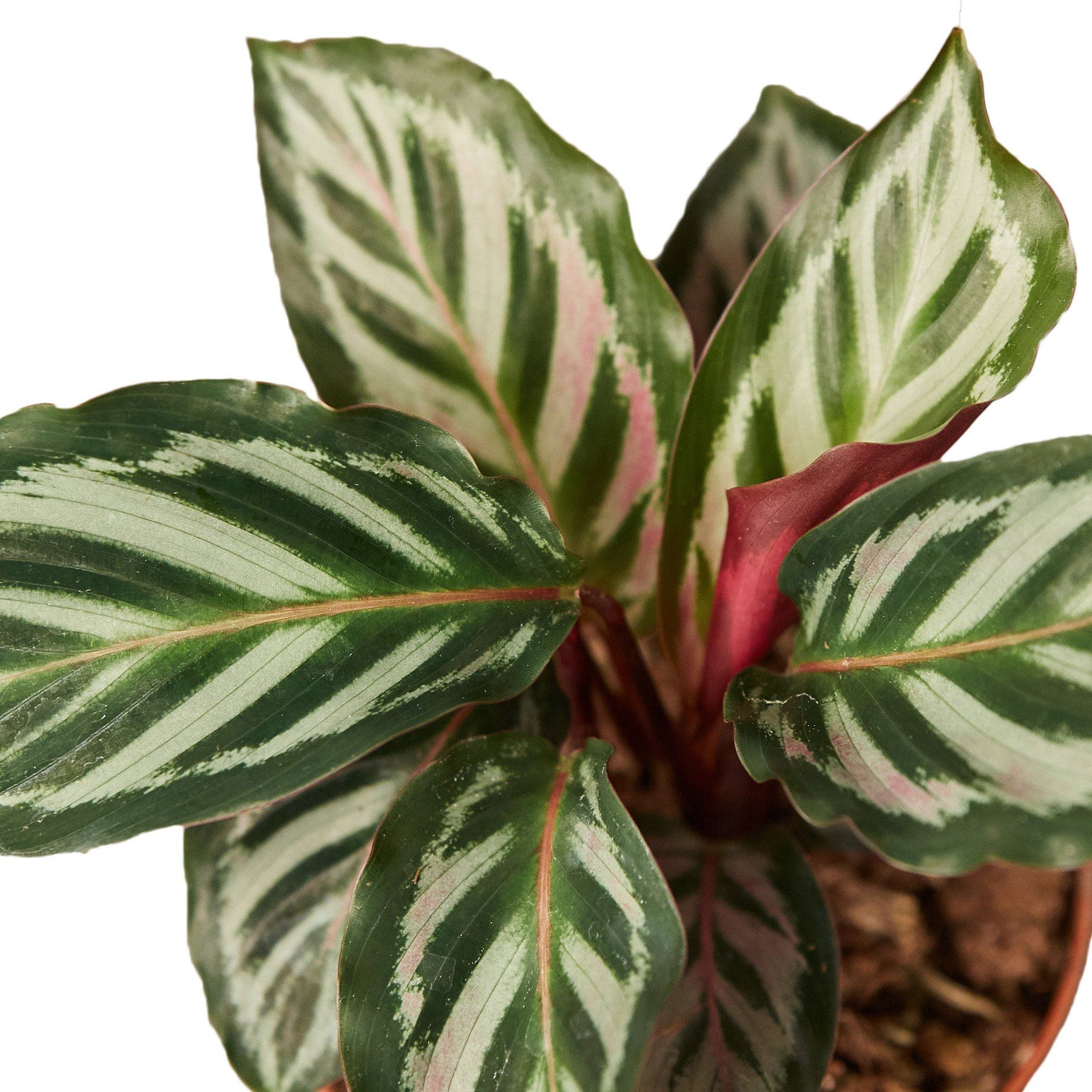 "Calathea 'Peacock' Indoor Plant House Plant Shop 6"" Pot"