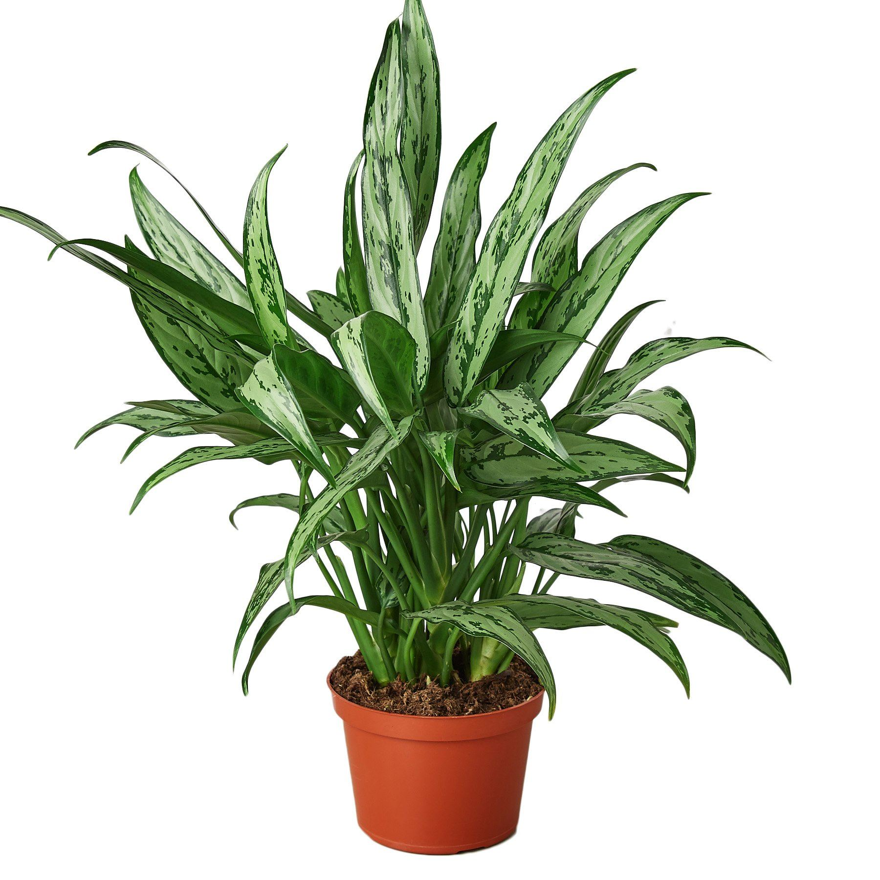 Chinese Evergreen 'Cutlass' Default House Plant Shop