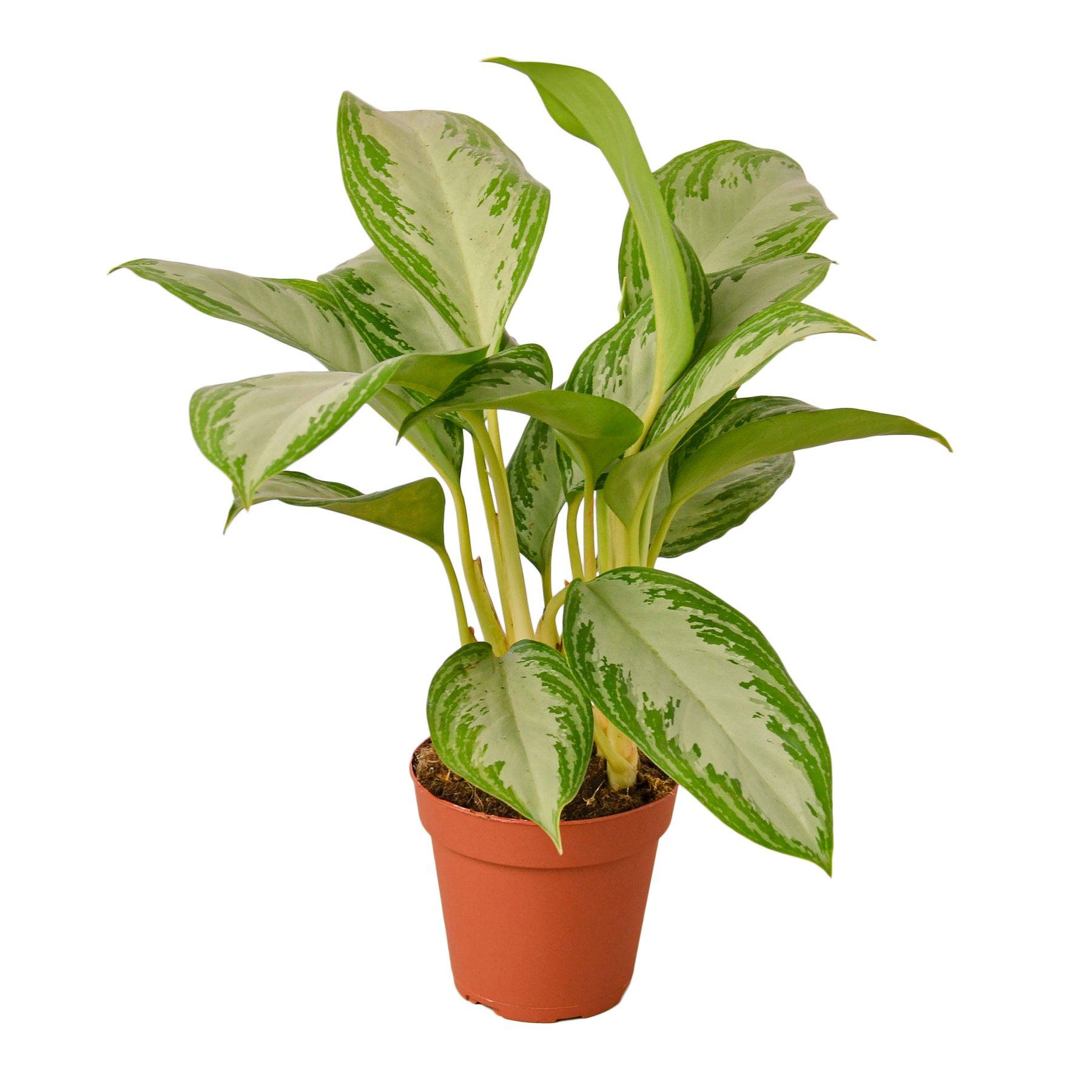 Chinese Evergreen 'Silver Bay' Indoor Houseplant-SproutSouth-Indoor Plants
