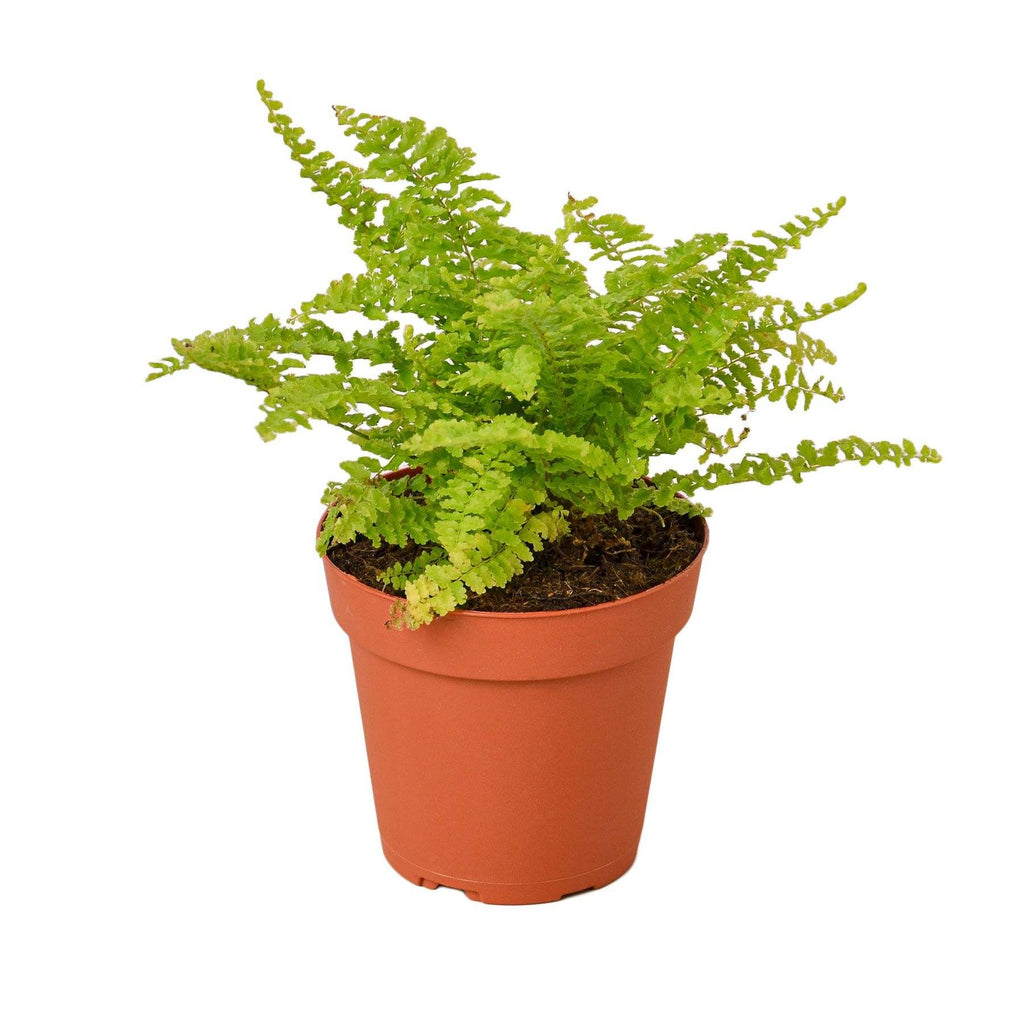 "Cotton Candy Fern 4"" Plant House Plant Shop"
