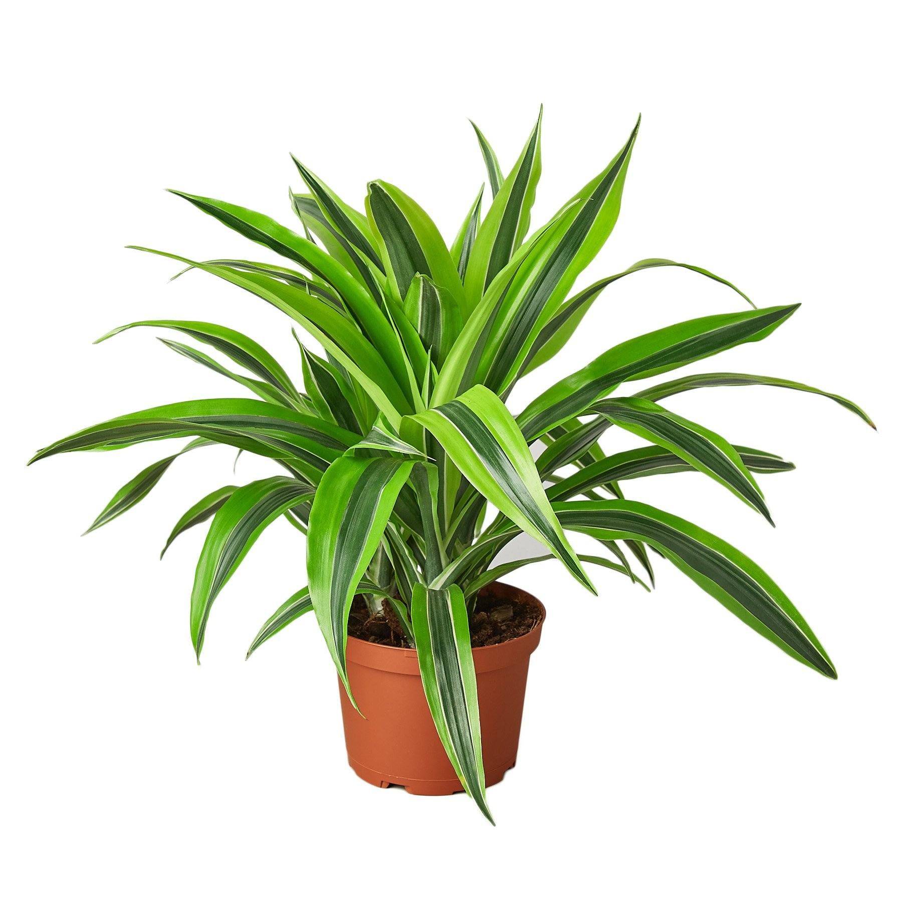 Dracaena Deremensis 'Lemon Surprise' Houseplant-SproutSouth-Indoor Plants