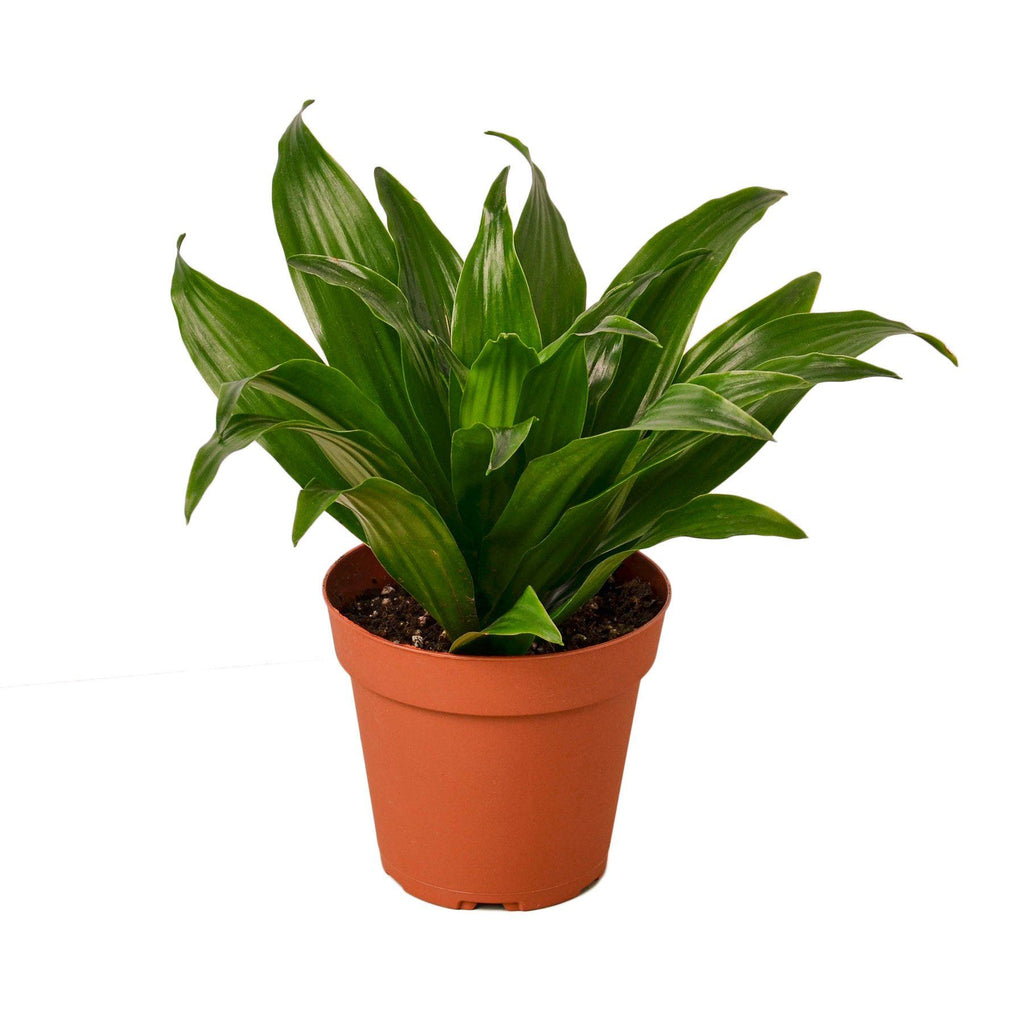 Dracaena 'Janet Craig' Houseplant-SproutSouth-Indoor Plants