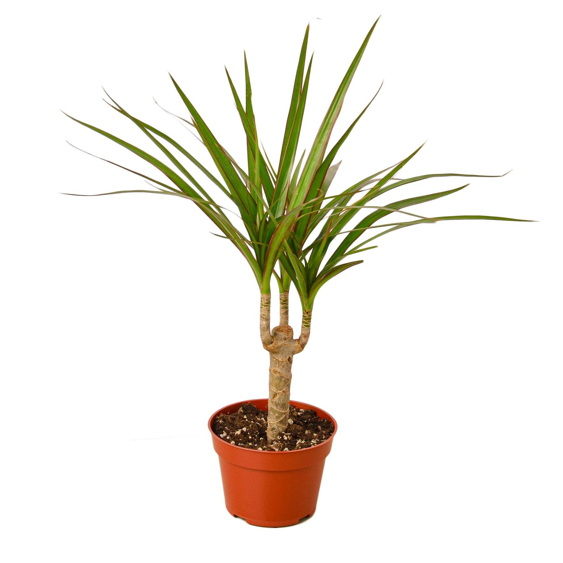 Dracaena Marginata Cane Indoor Houseplant-SproutSouth-Indoor Plants