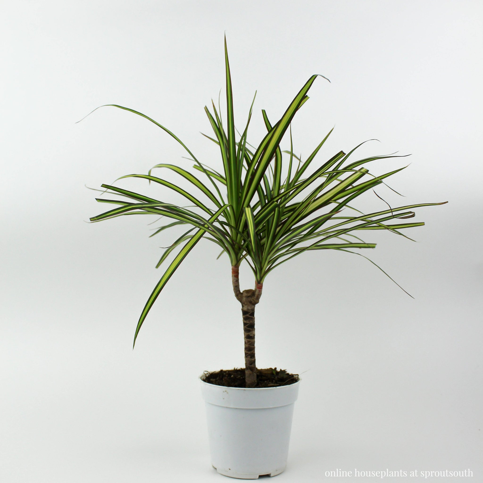 Dracaena Marginata Cane Indoor Houseplant Indoor Plants House Plant Shop