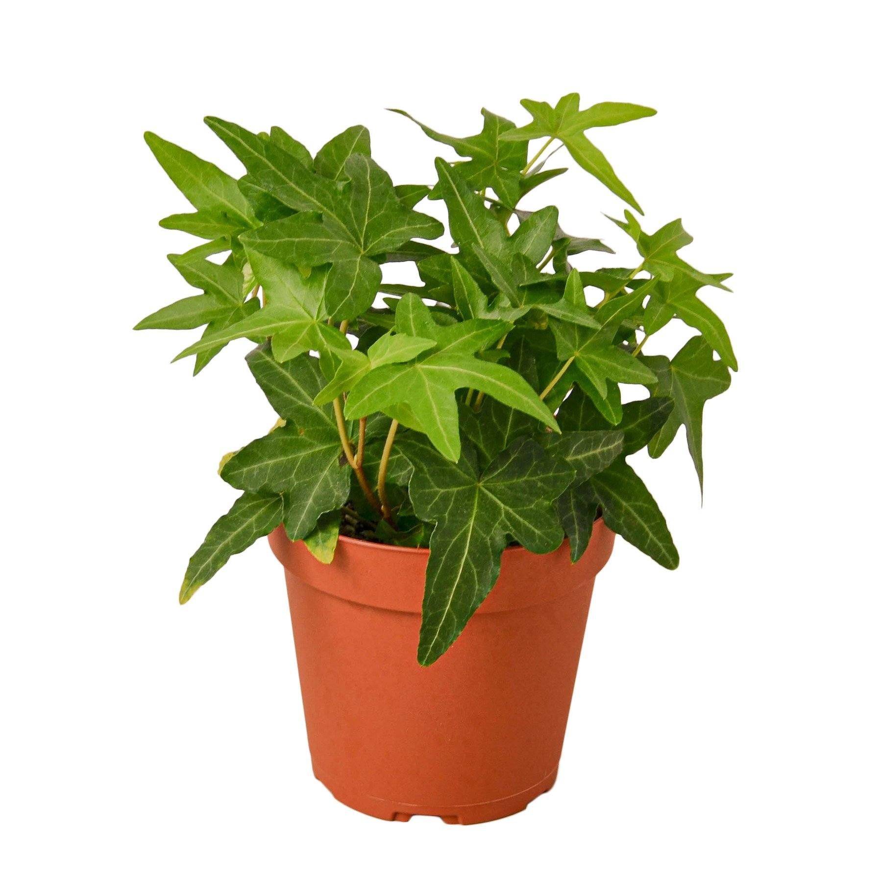 English Ivy Green California Houseplant-SproutSouth-Indoor Plants