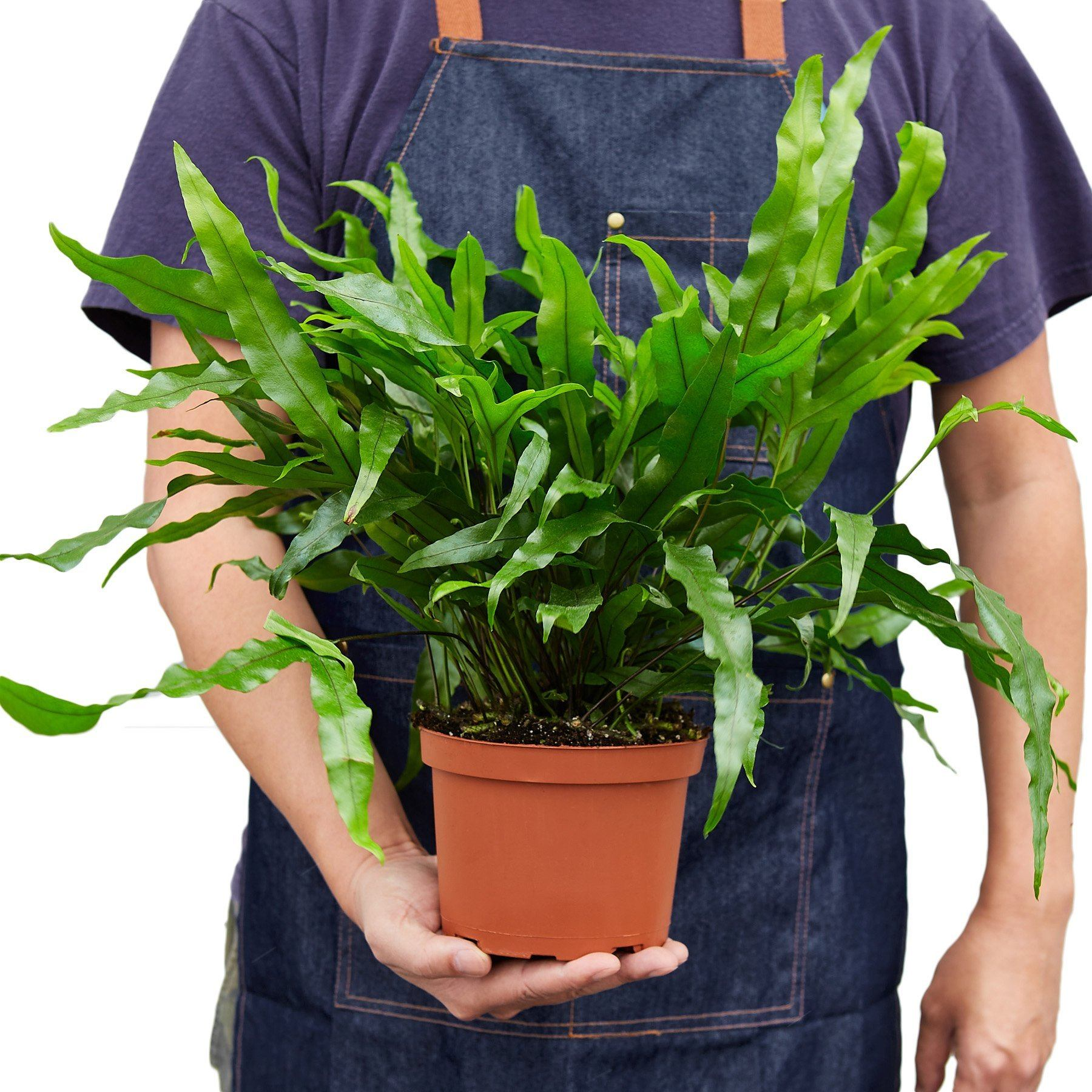 Fern 'Kangaroo Paw' Indoor Plant-SproutSouth-Indoor Plants