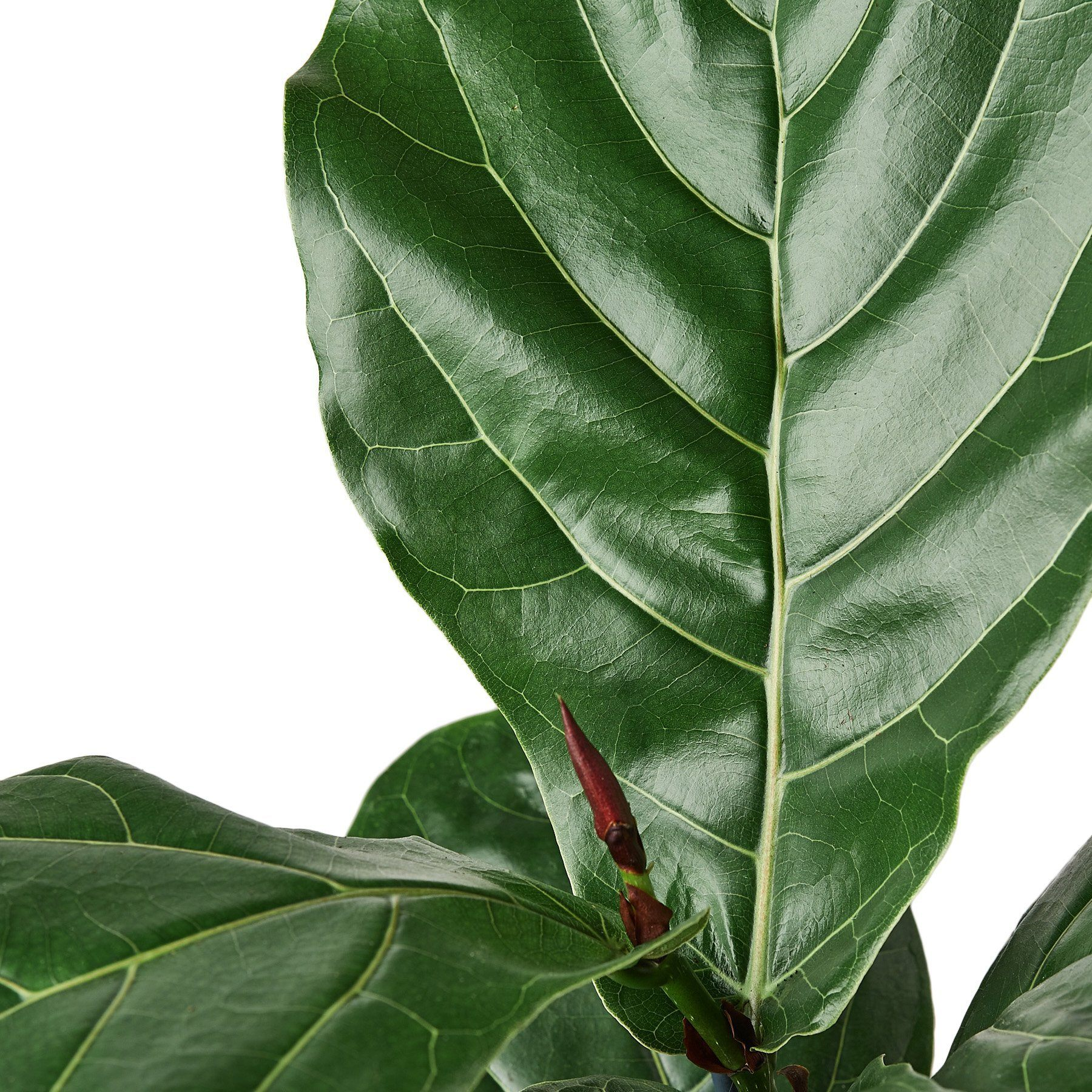 Ficus Lyrata 'Fiddle Leaf Fig' Indoor Plants House Plant Shop