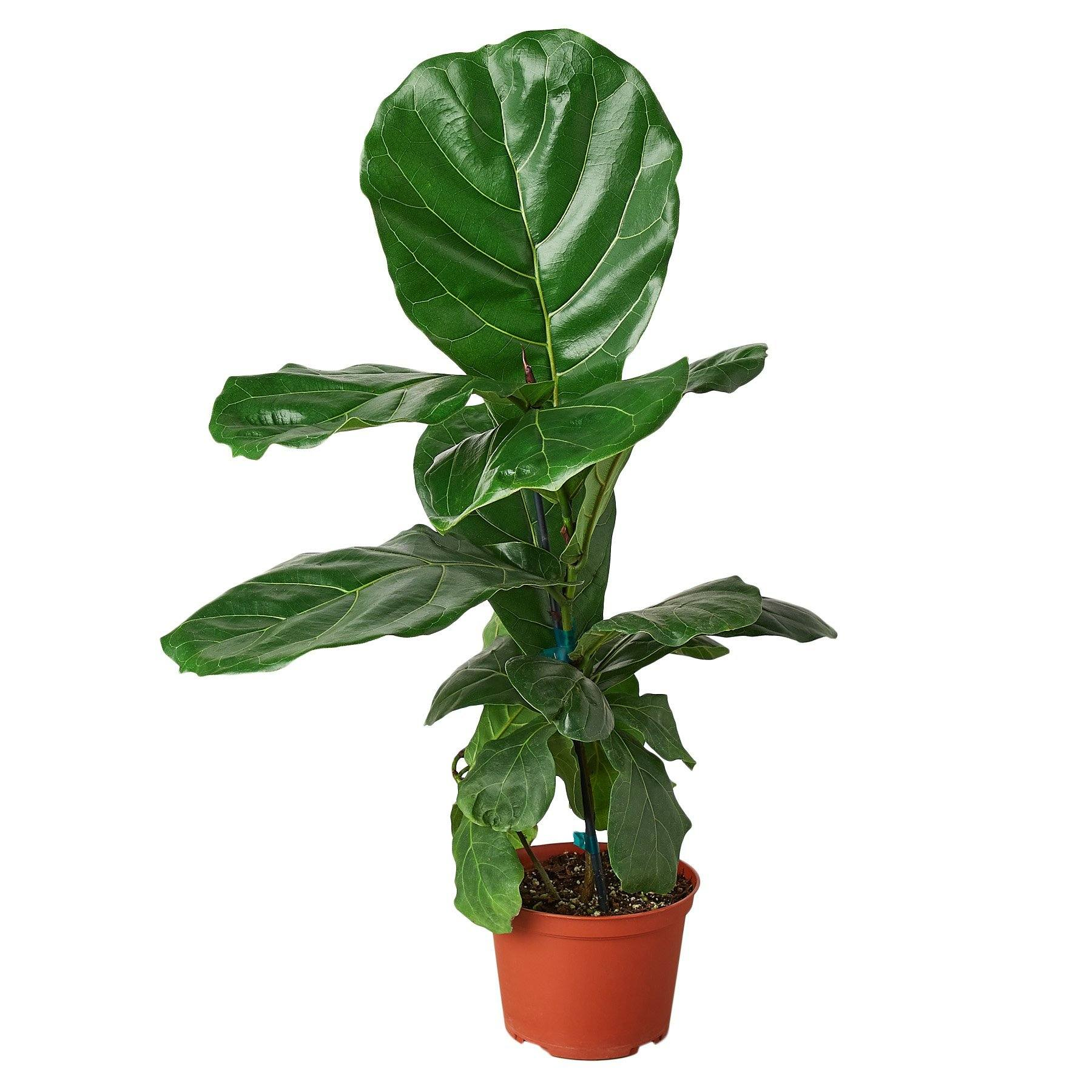 "Ficus Lyrata 'Fiddle Leaf Fig' Indoor Plants House Plant Shop 6"" Pot"