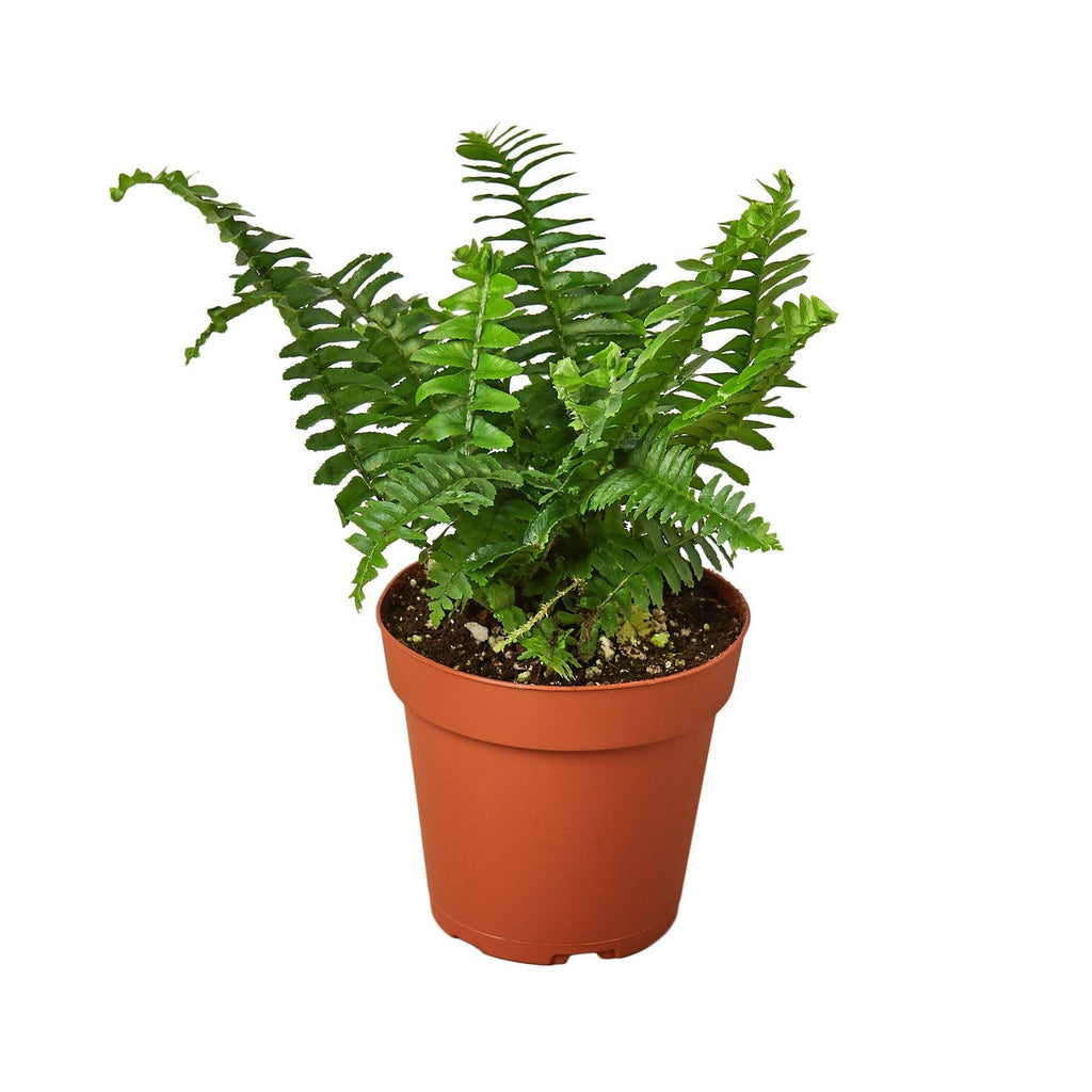 "Jester's Crown Fern Indoor Plants House Plant Shop 4"" Pot"