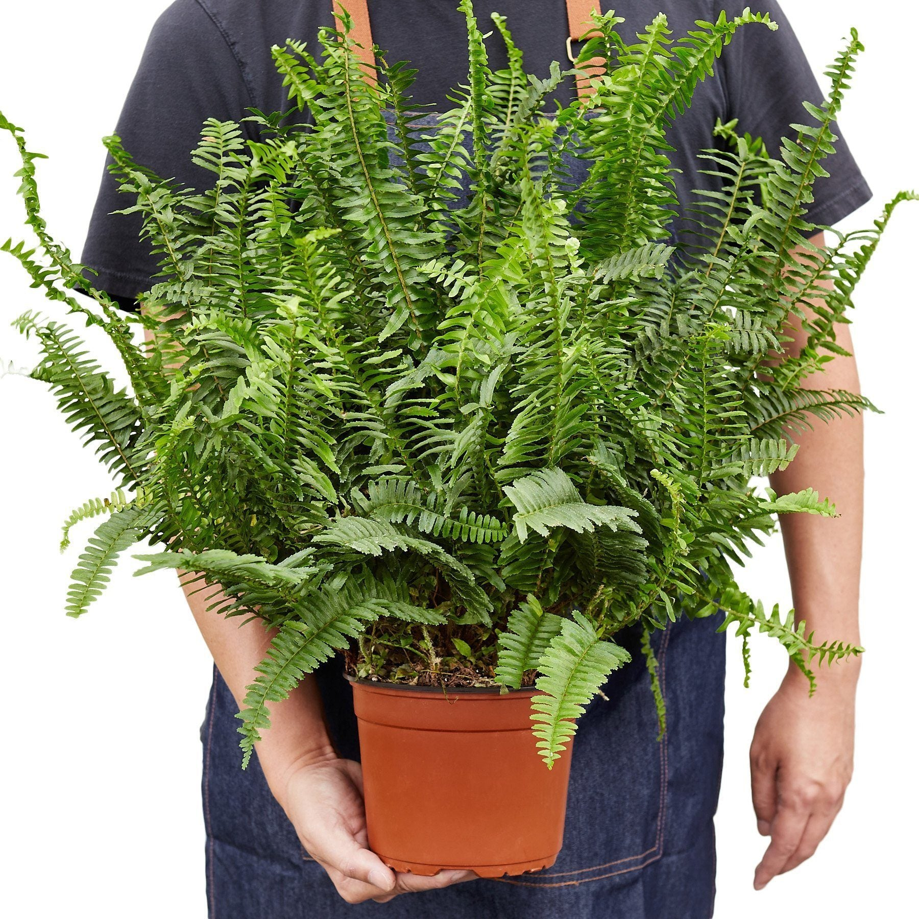 Jester's Crown Fern Indoor Plants House Plant Shop