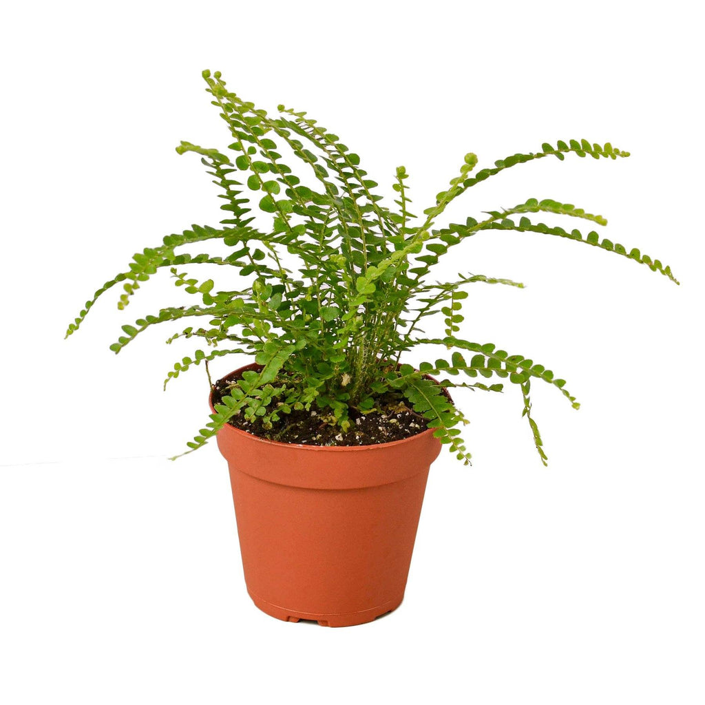 "Lemon Button Fern Indoor Plants House Plant Shop 4"" Pot Nursery Pot"