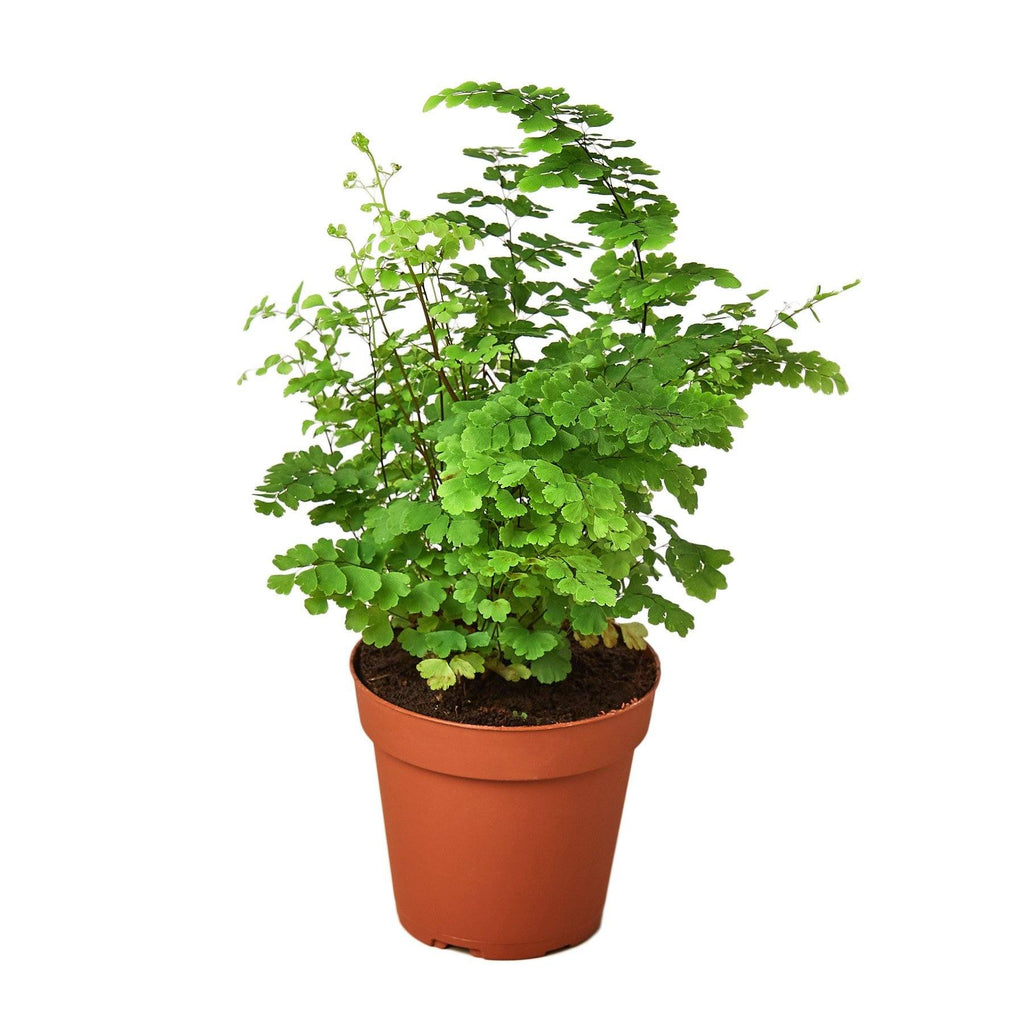 "Maidenhair Fern Indoor Plants House Plant Shop 4"" Pot"