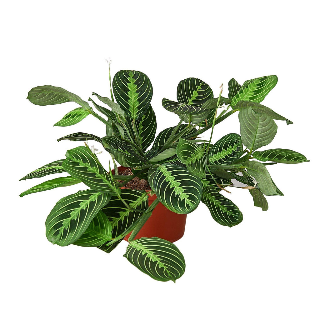 Maranta 'Lemon Lime' Default House Plant Shop