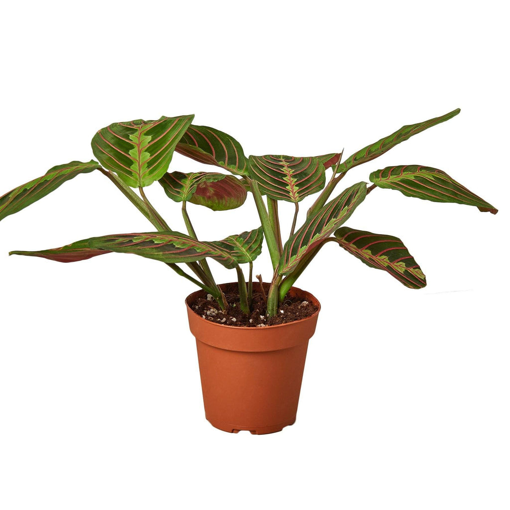 Maranta Red Prayer Default House Plant Shop