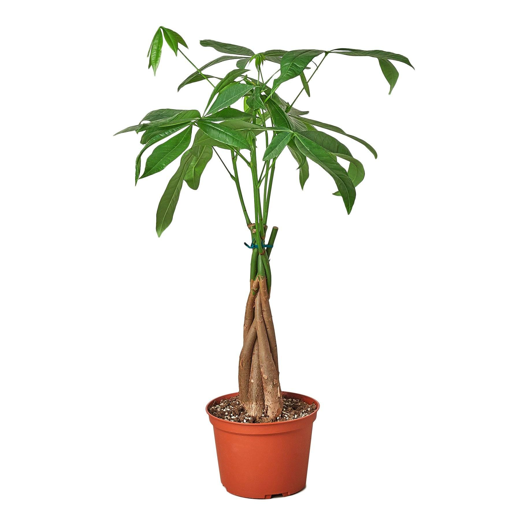 Money Tree 'Guiana Chestnut' Pachira Braid Indoor Plants House Plant Shop