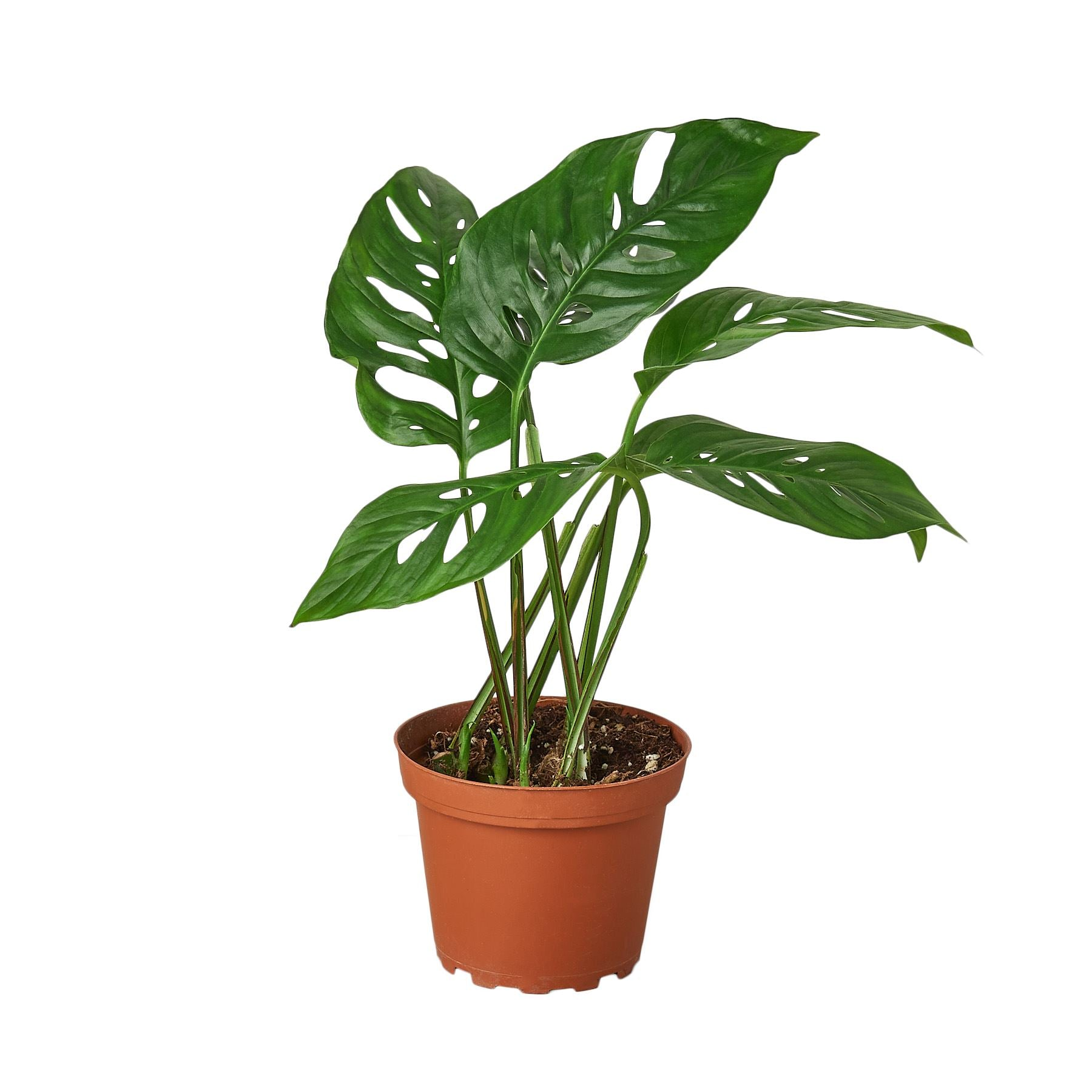 "Monstera Adansonii 'Swiss Cheese' 4"" Plant (1pk/$2) ($6 Ship/15oz) House Plant Shop"
