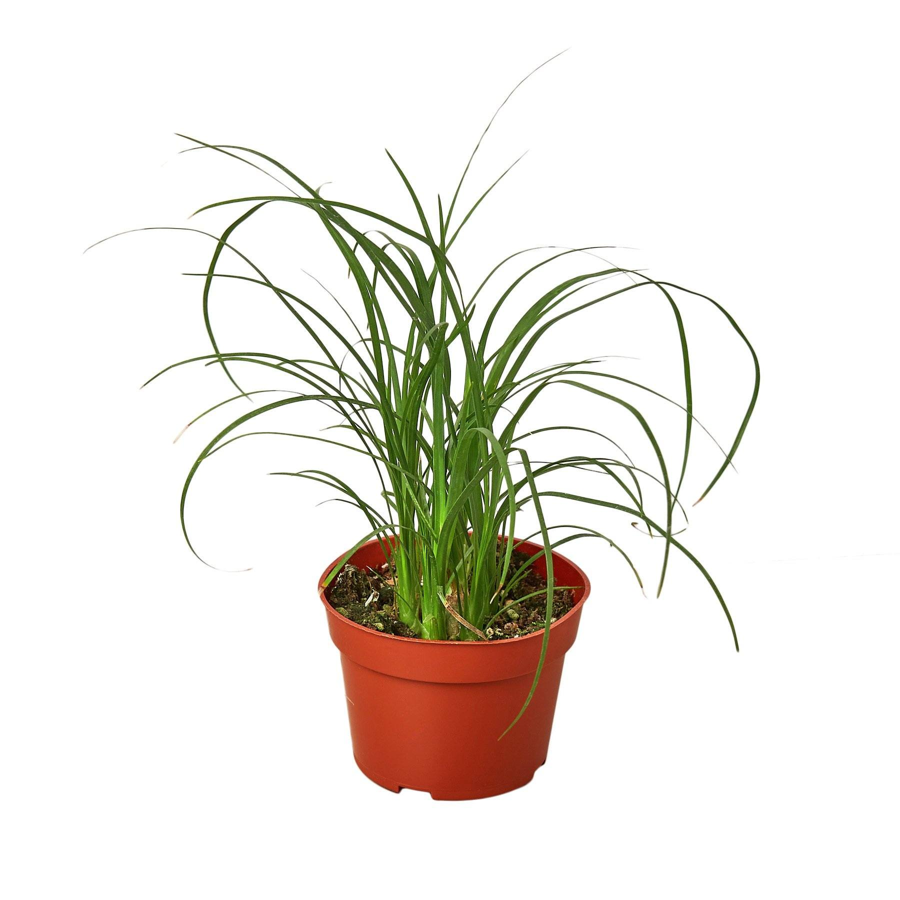 Palm Ponytail Indoor Plant-SproutSouth-Indoor Plants