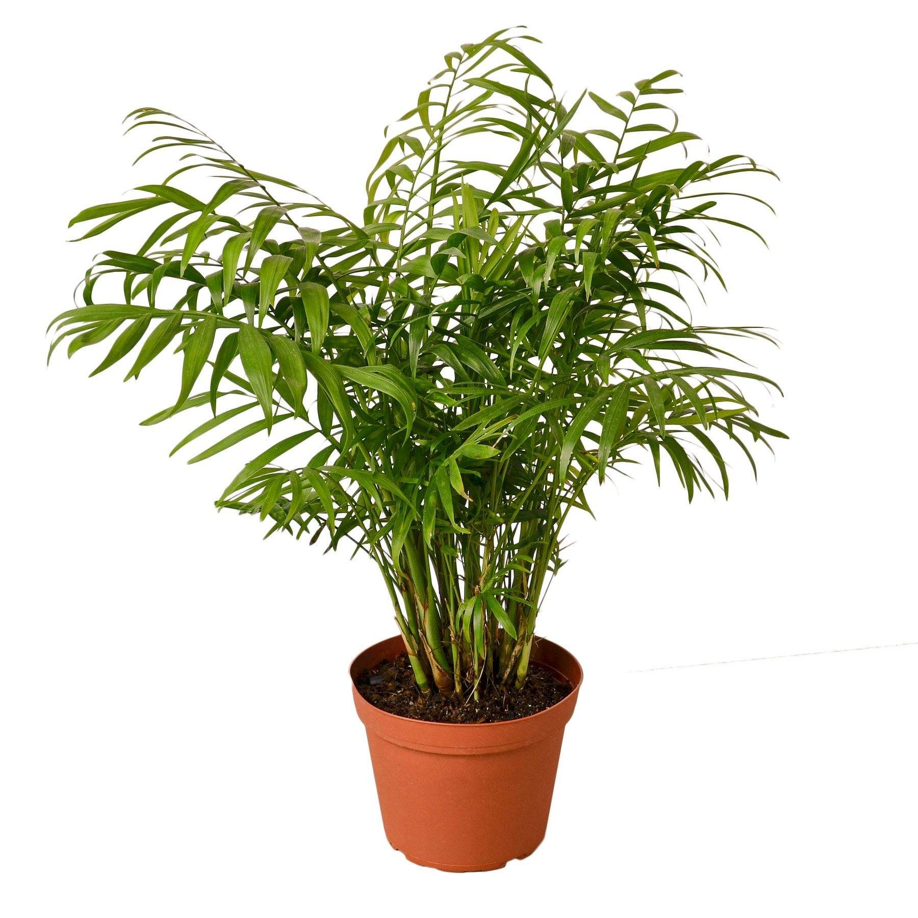 Parlor Palm Houseplant-SproutSouth-Indoor Plants