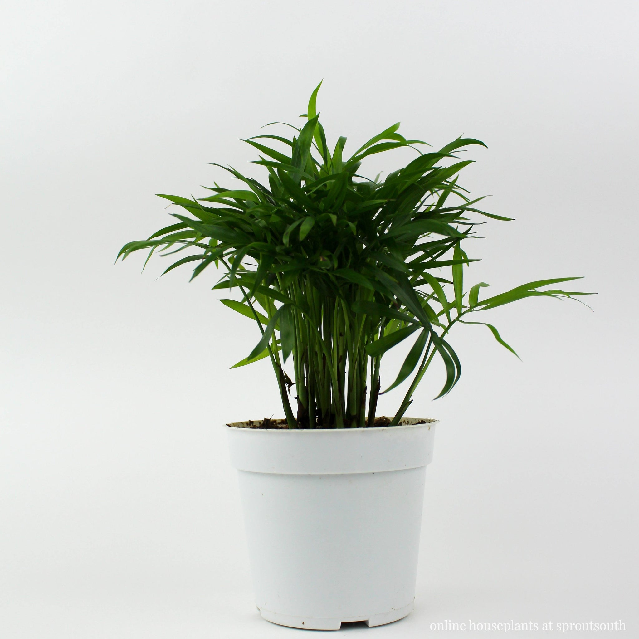 Parlor Palm Houseplant Indoor Plants House Plant Shop