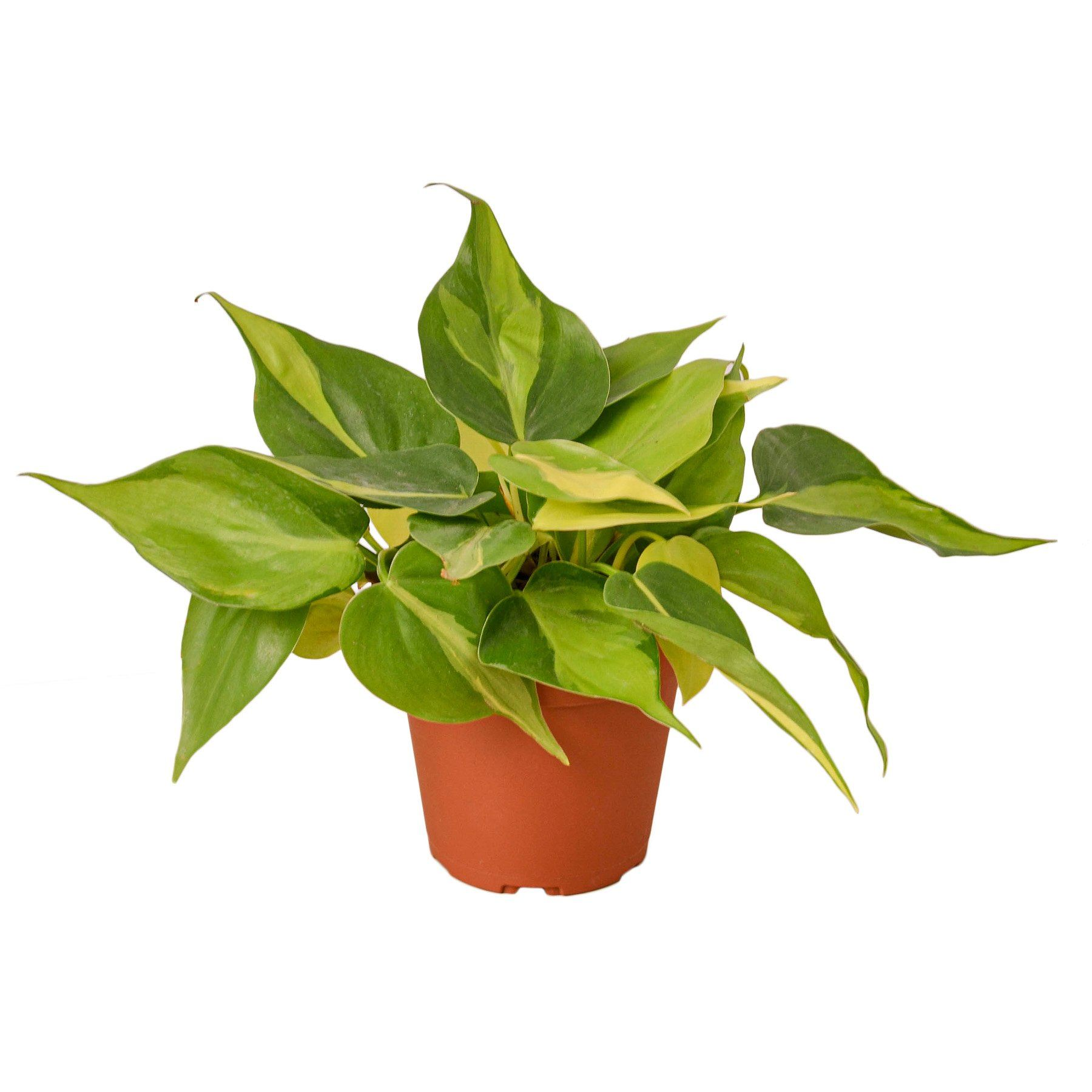 Philodendron 'Brasil' Houseplant-SproutSouth-Indoor Plants
