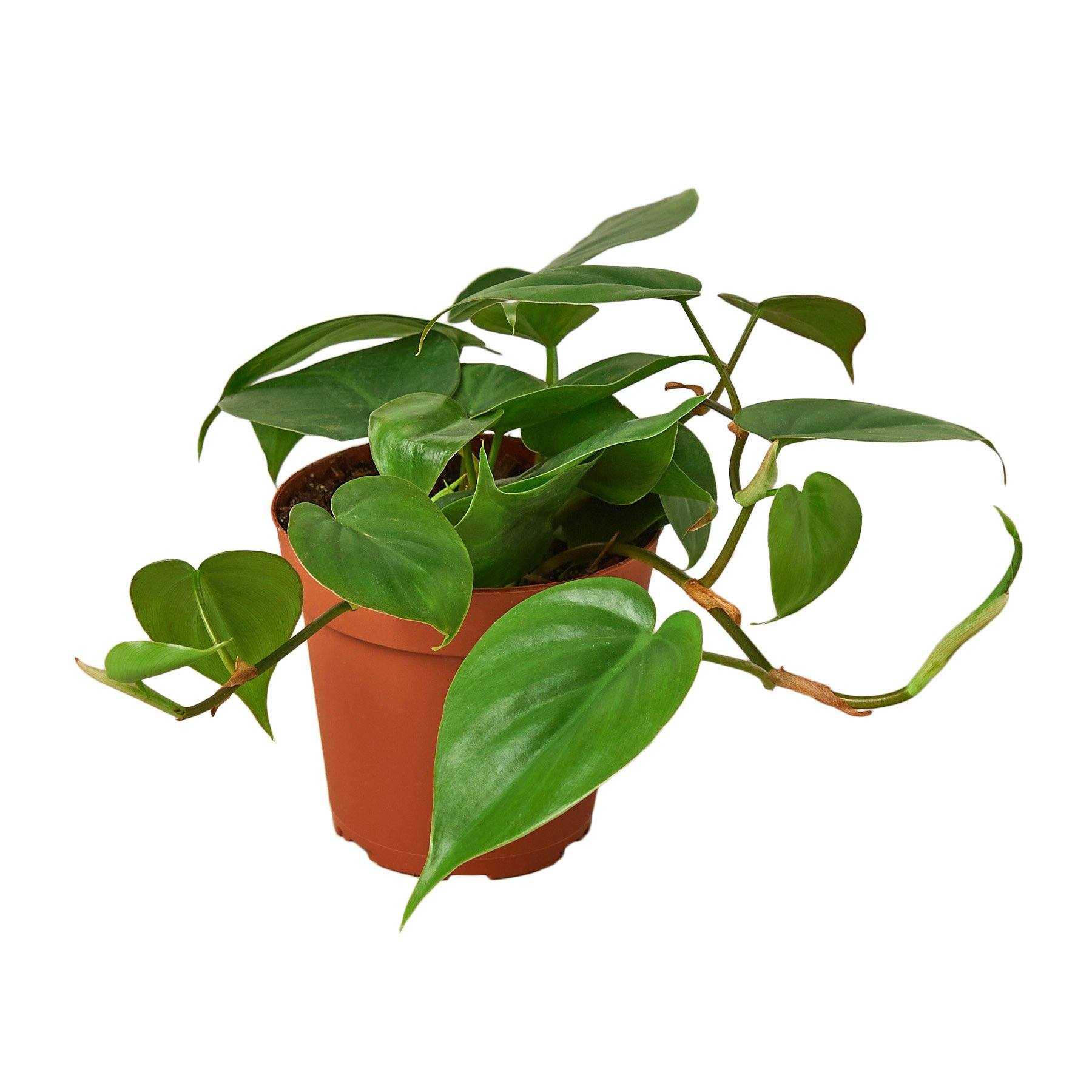 Philodendron Cordatum Heartleaf Indoor Houseplant-SproutSouth-Indoor Plants