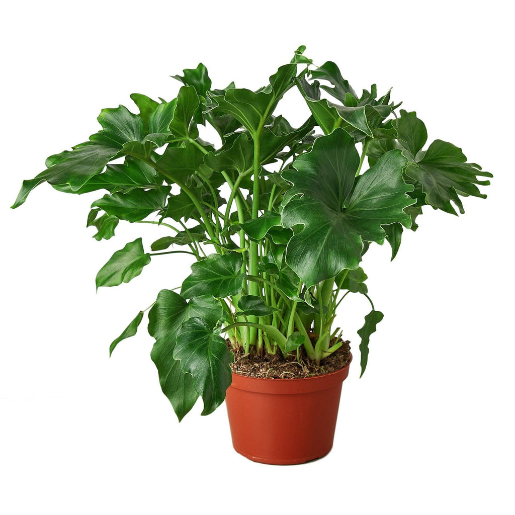 Philodendron 'Little Hope' Indoor Houseplant-SproutSouth-Indoor Plants