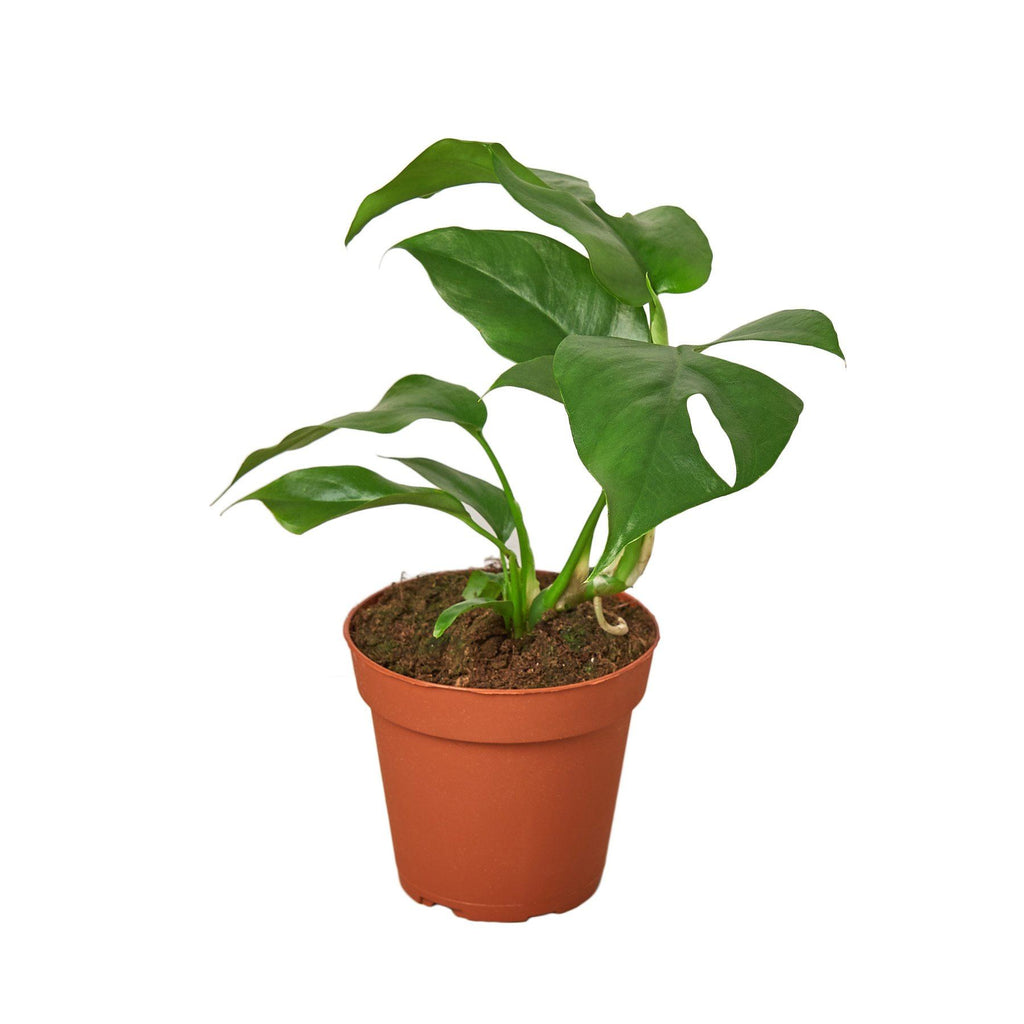 "Philodendron Mini Monstera Minima 4"" Plant (1pk/$2) ($6 Ship/15oz) House Plant Shop"