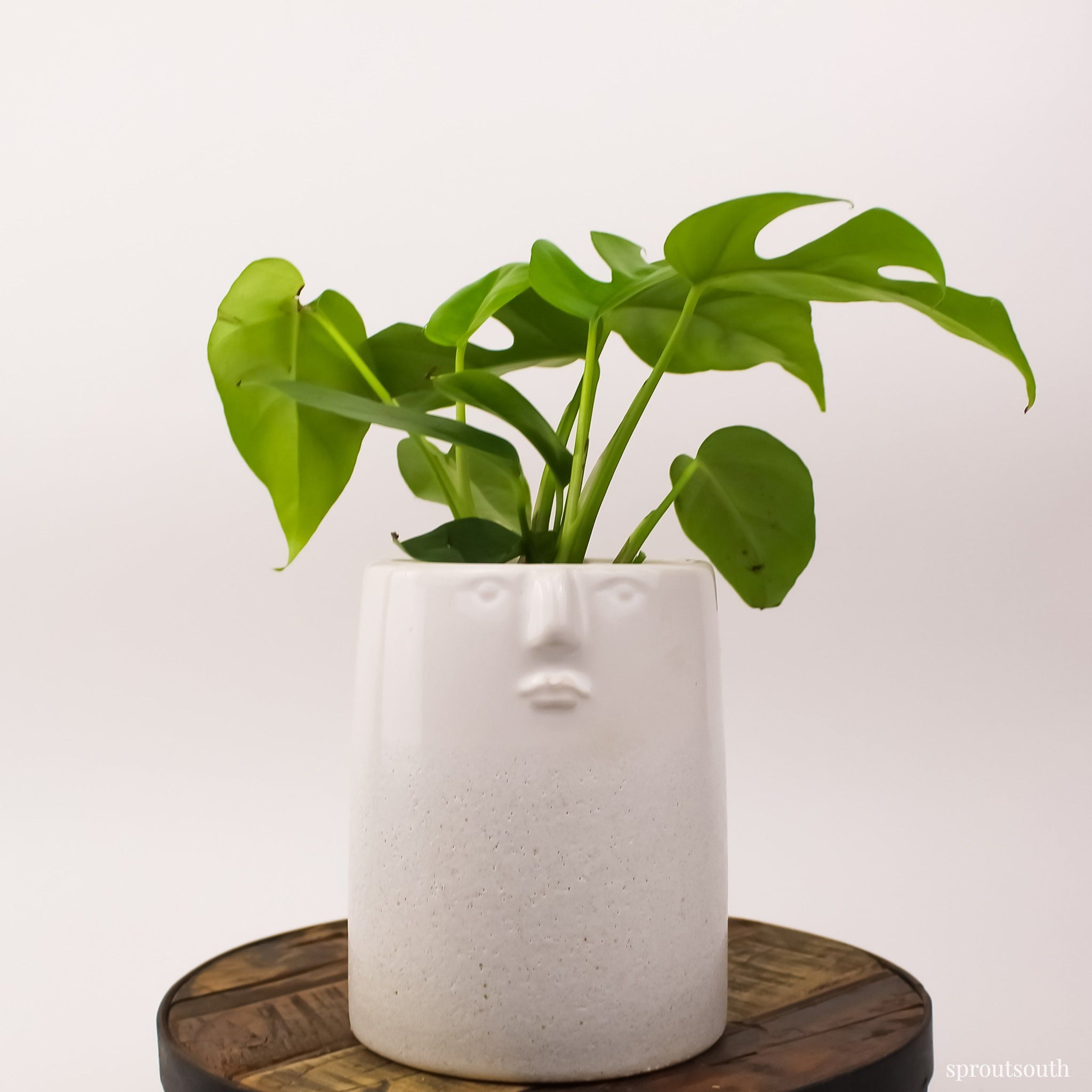Philodendron Mini Monstera Minima Plant House Plant Shop