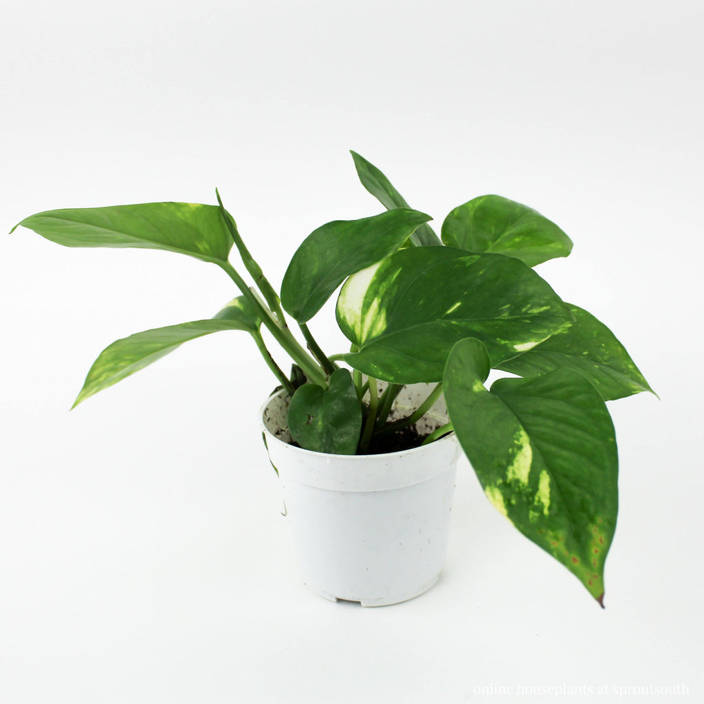 Pothos 'Golden' Indoor Houseplant Indoor Plants House Plant Shop