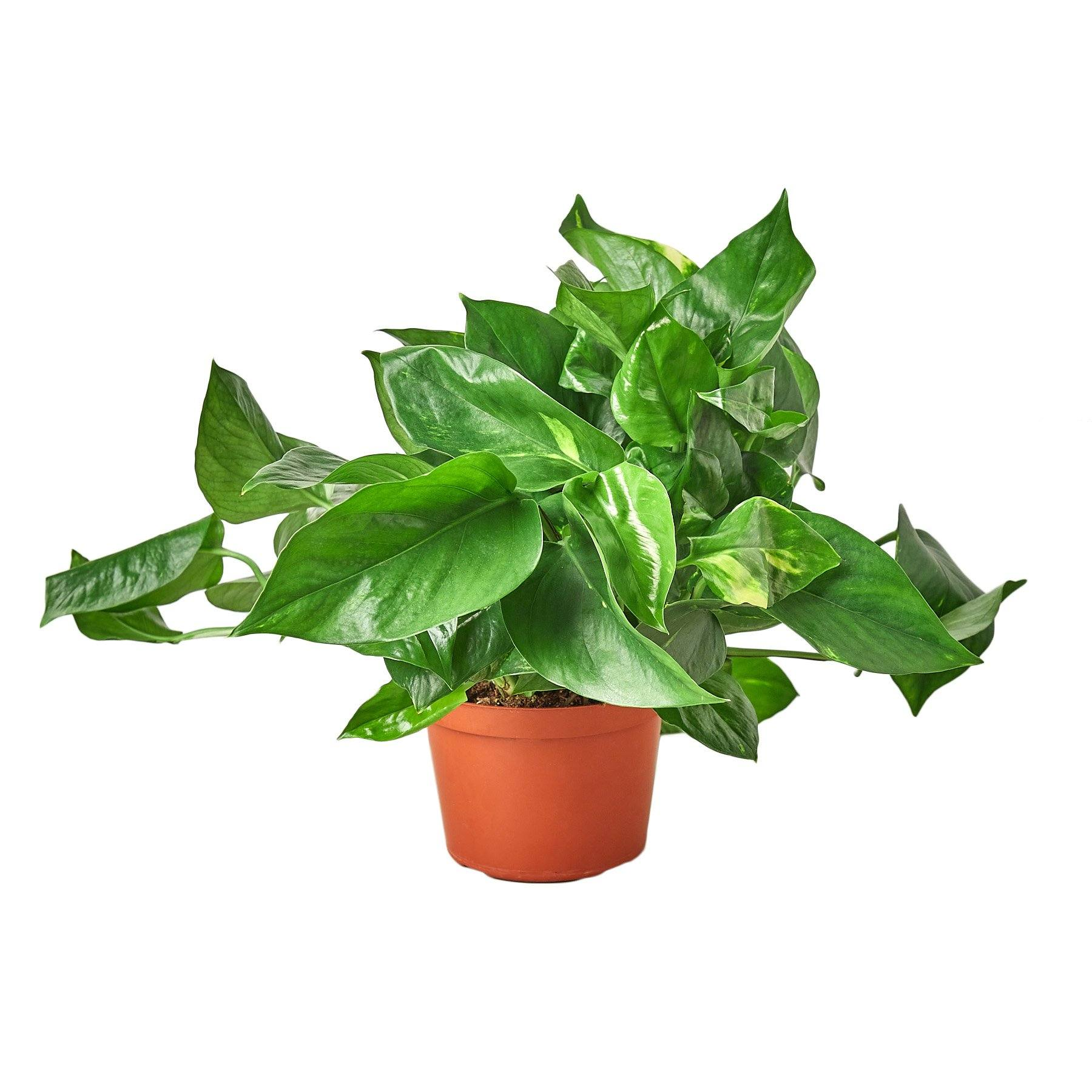Pothos 'Golden' Indoor Houseplant-SproutSouth-Indoor Plants