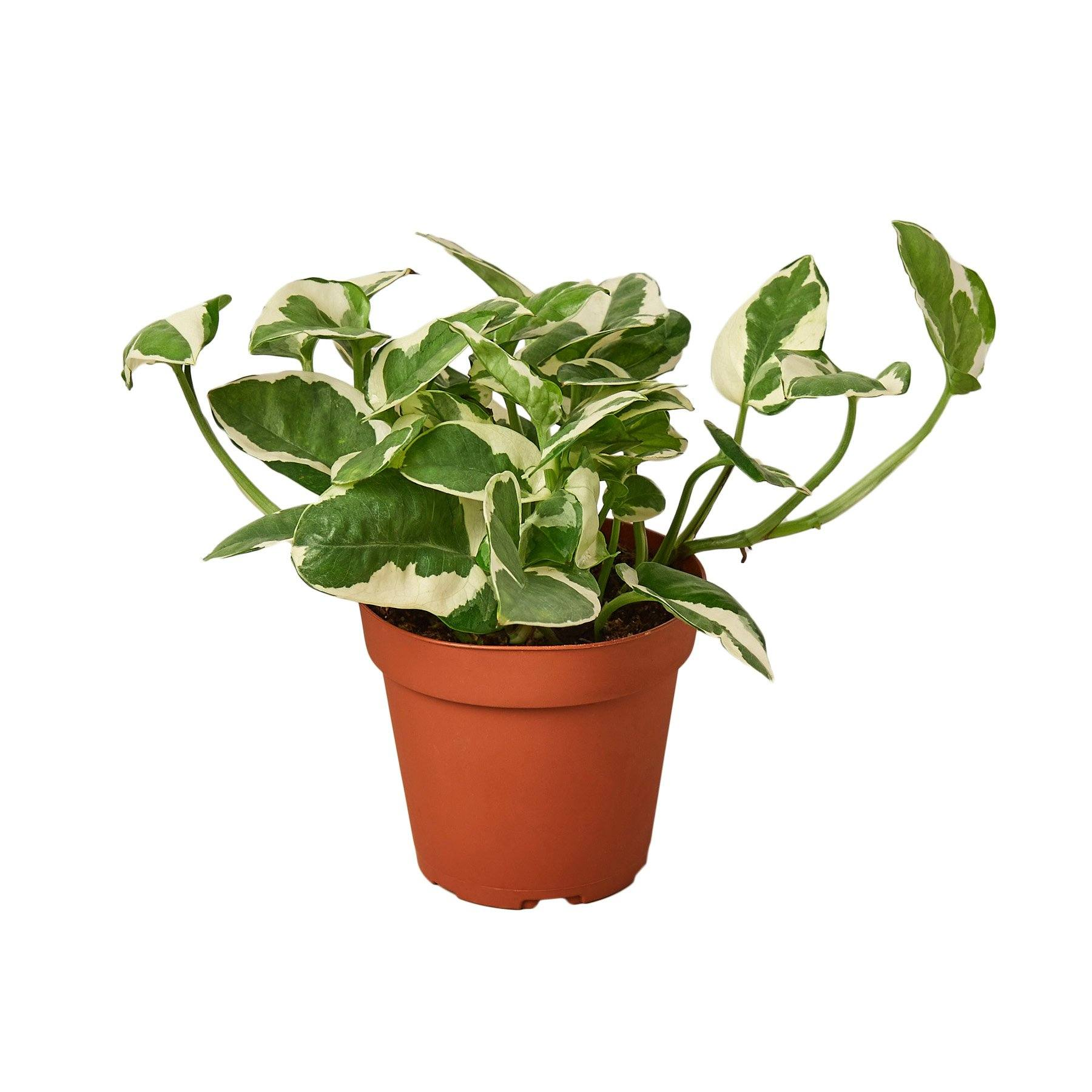 Pothos 'N'joy' Indoor Houseplant-SproutSouth-Indoor Plants