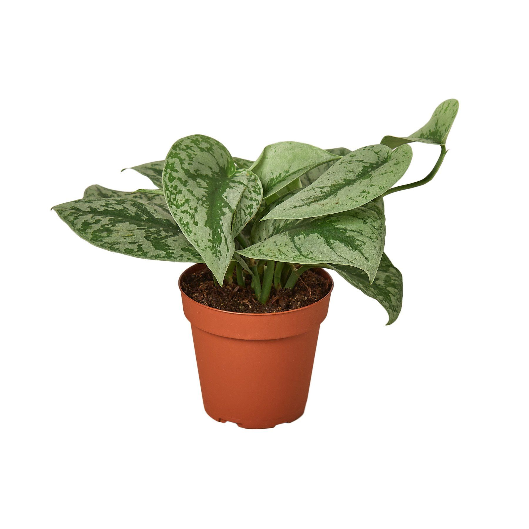 Pothos 'Silver Splash' Houseplant-SproutSouth-Indoor Plants