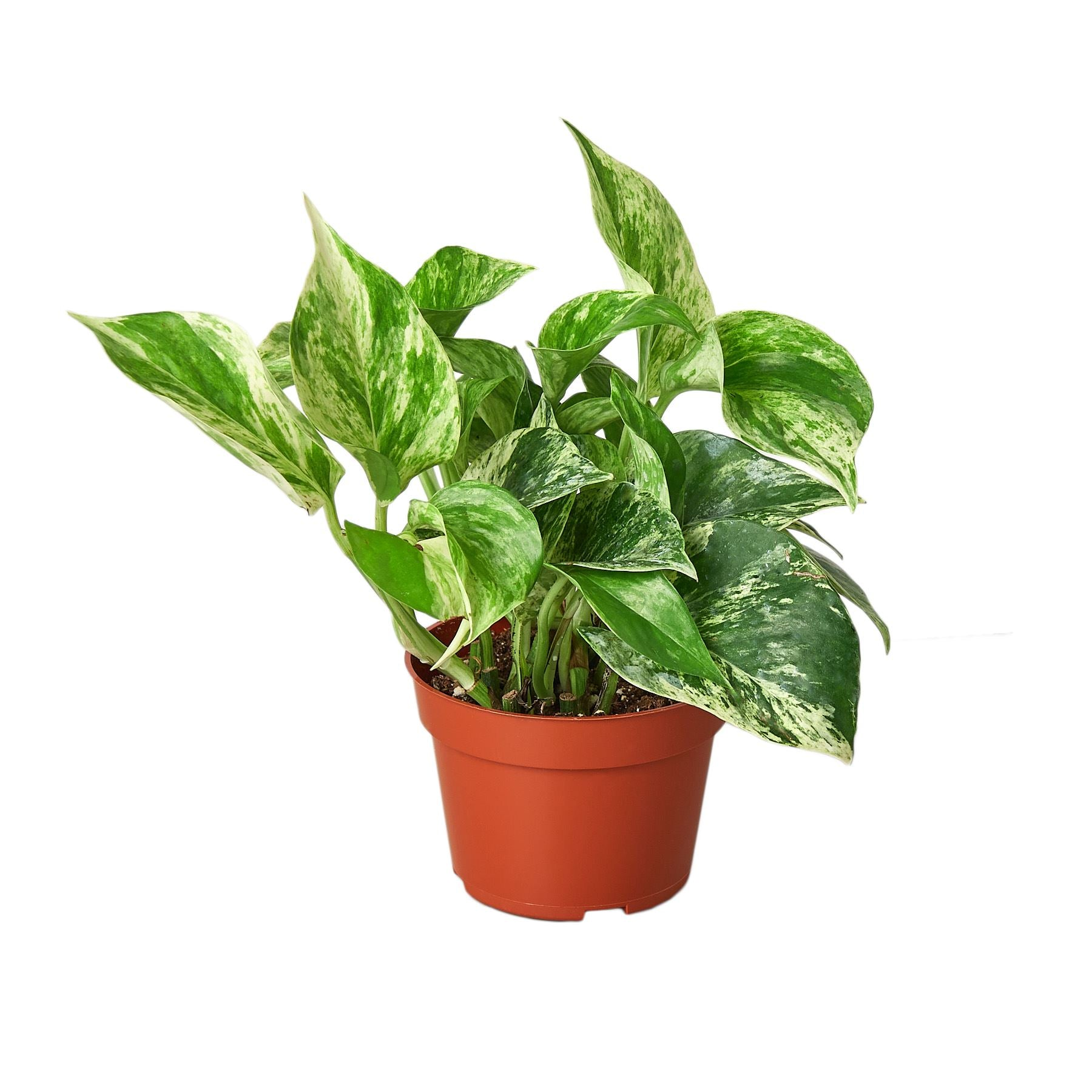 "Pothos 'Snow Queen' Indoor Plants House Plant Shop 4"" Pot"