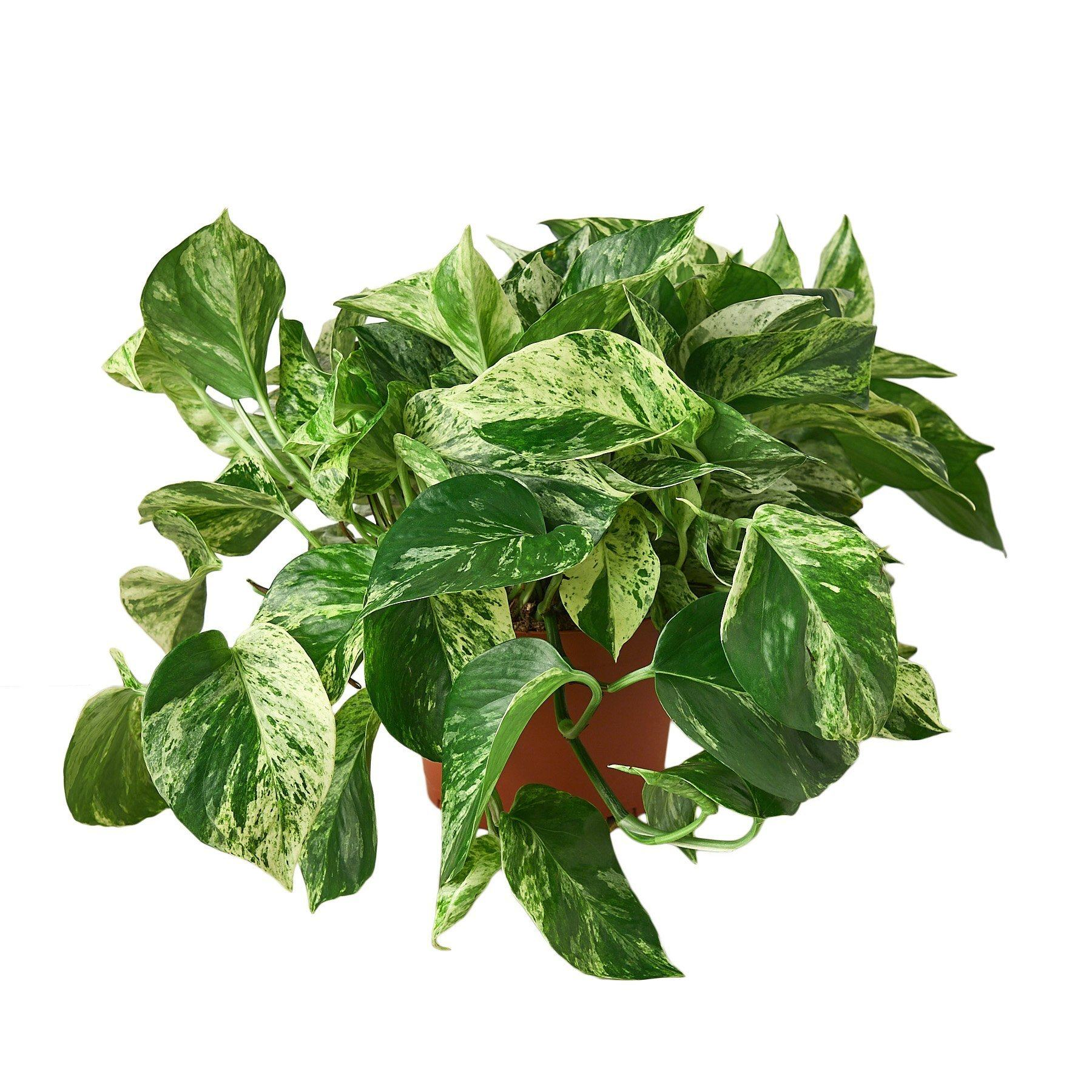 "Pothos 'Snow Queen' Indoor Plants House Plant Shop 6"" Pot"