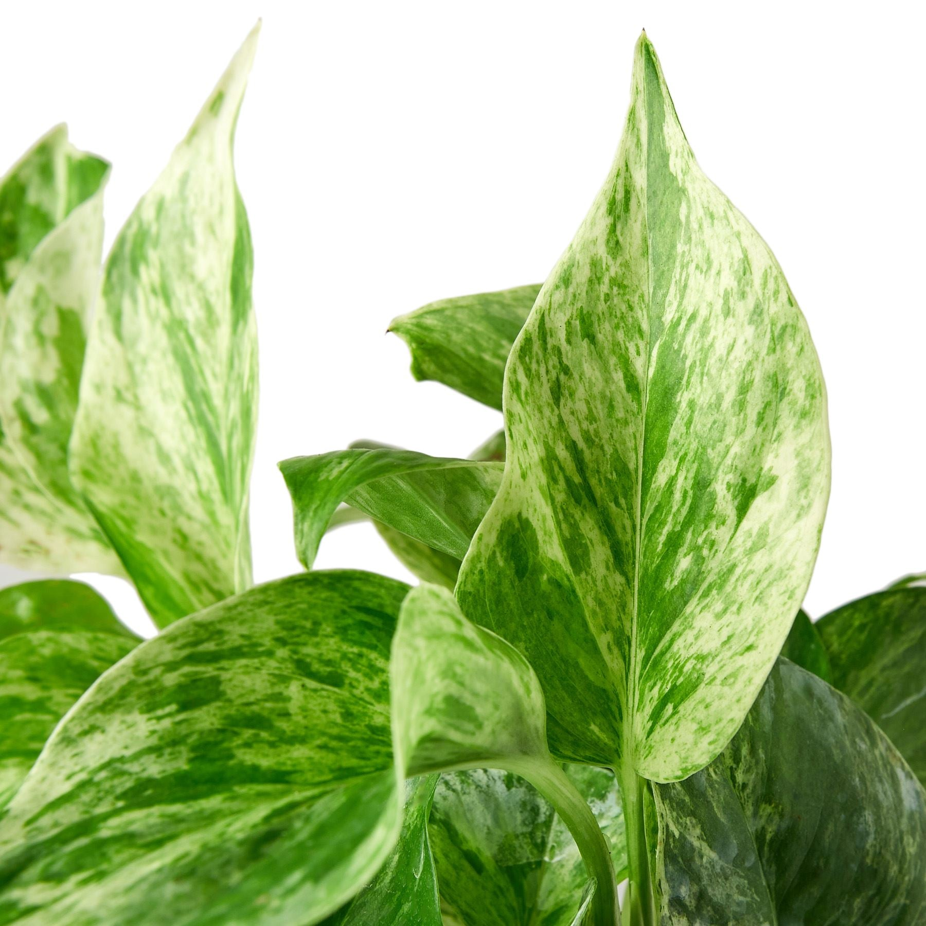 Pothos 'Snow Queen' Indoor Plants House Plant Shop