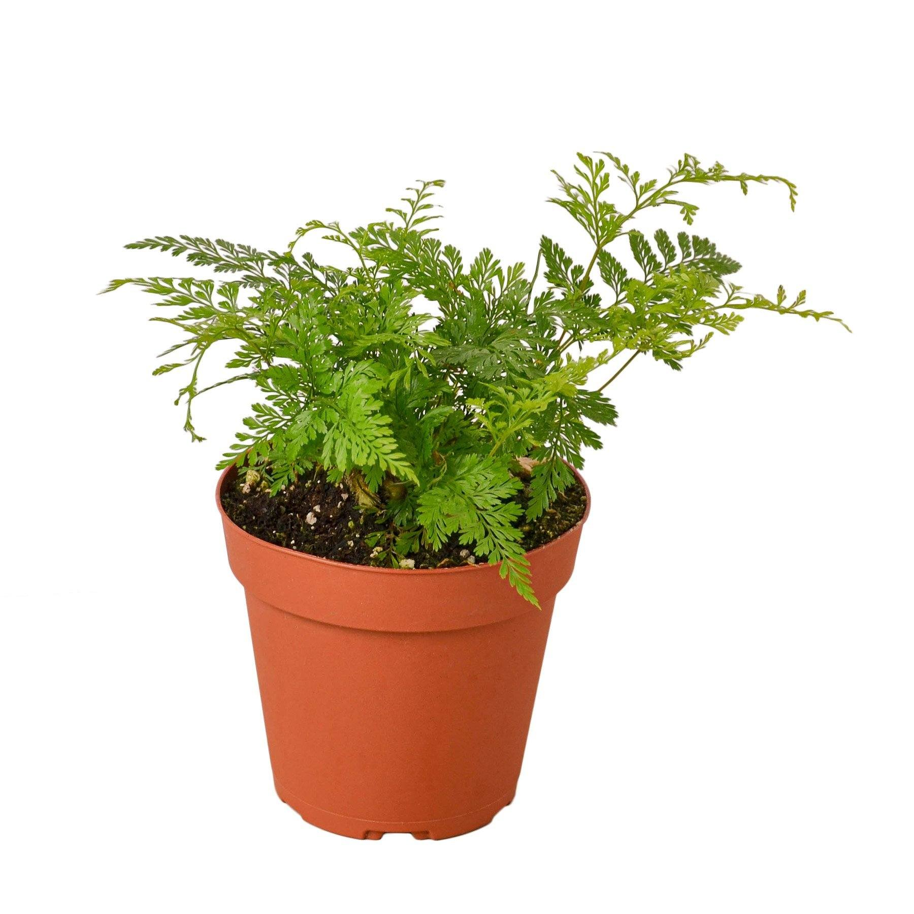 Rabbit's Foot Fern Houseplant-SproutSouth-Indoor Plants