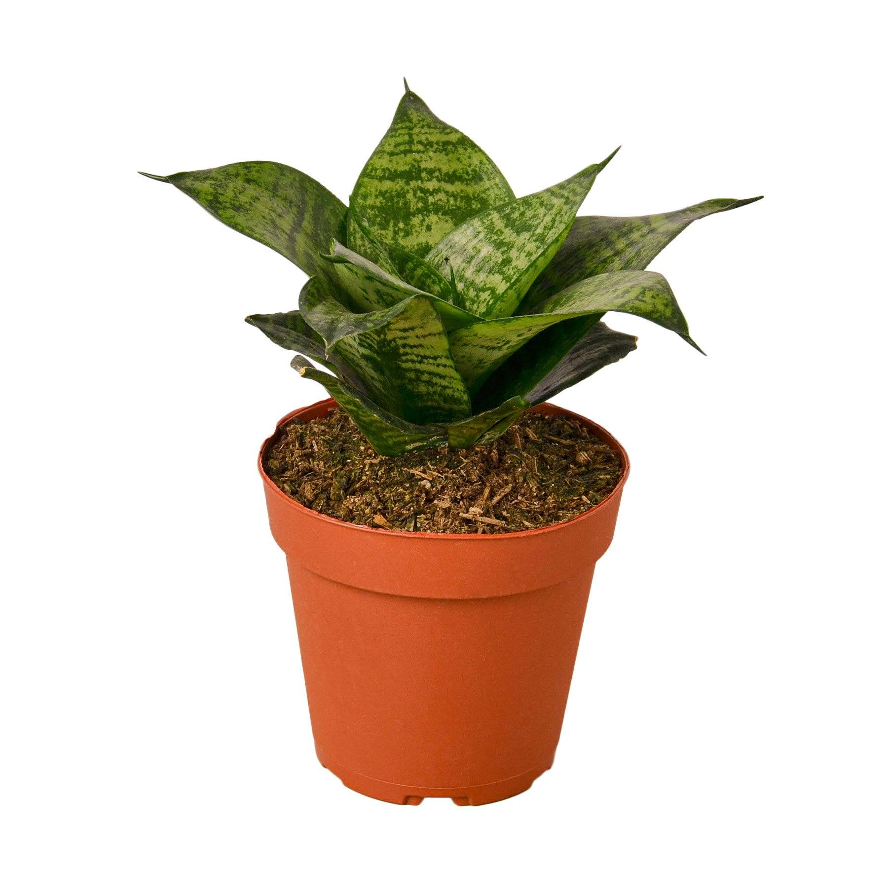 Snake Plant Black Robusta Plant-SproutSouth-Indoor Plants