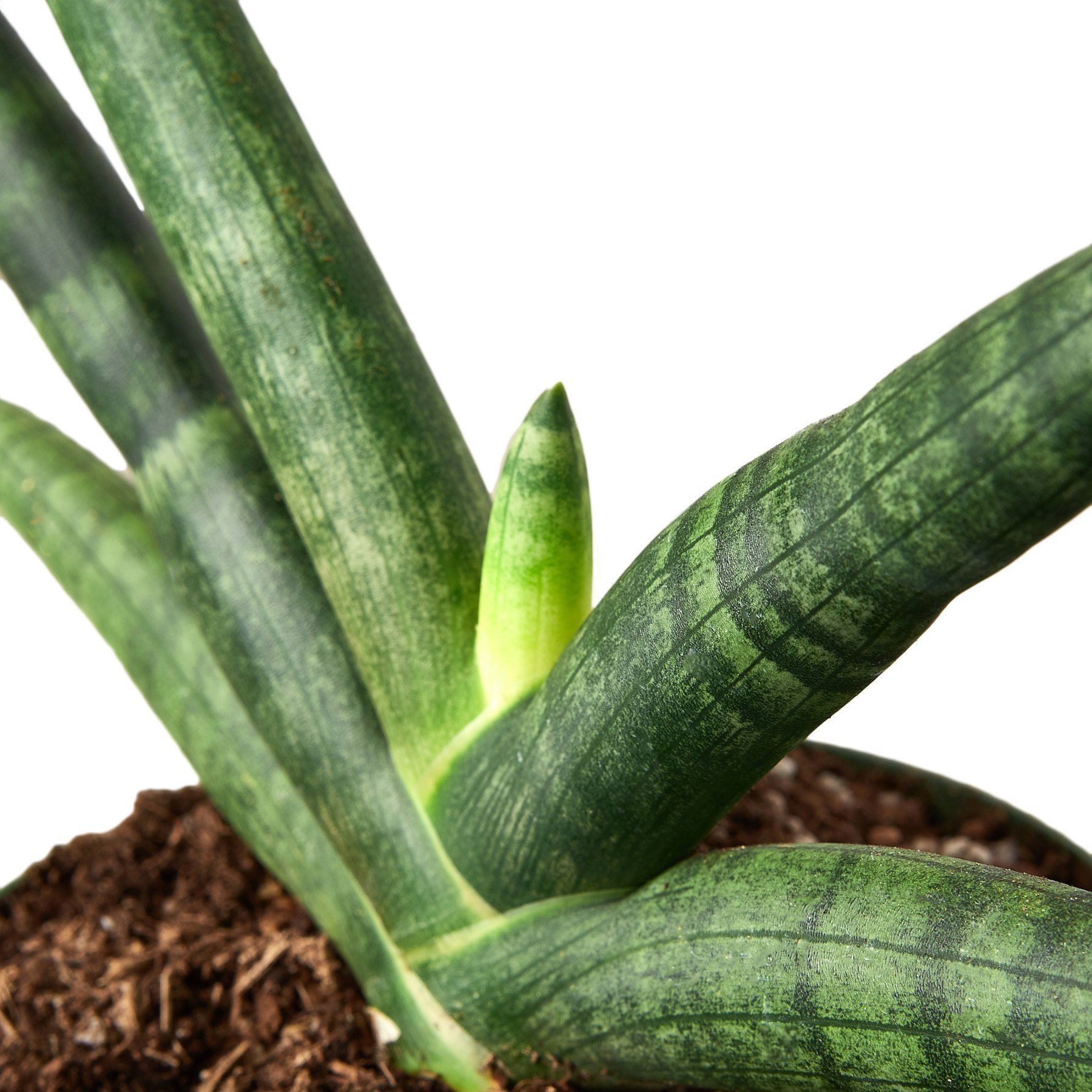 Snake Plant Starfish Indoor Plant-SproutSouth-Indoor Plants