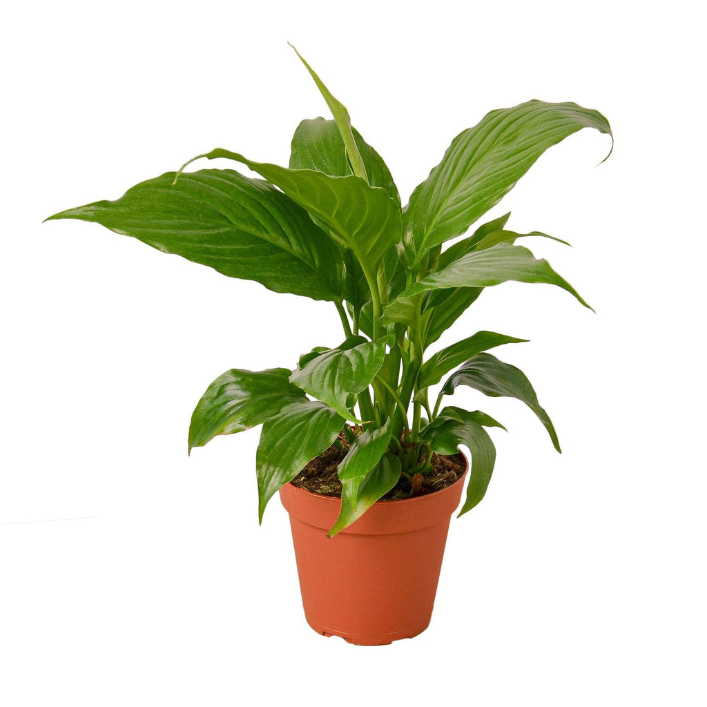 Spathiphyllum 'Peace Lily' Indoor Houseplant-SproutSouth-Indoor Plants