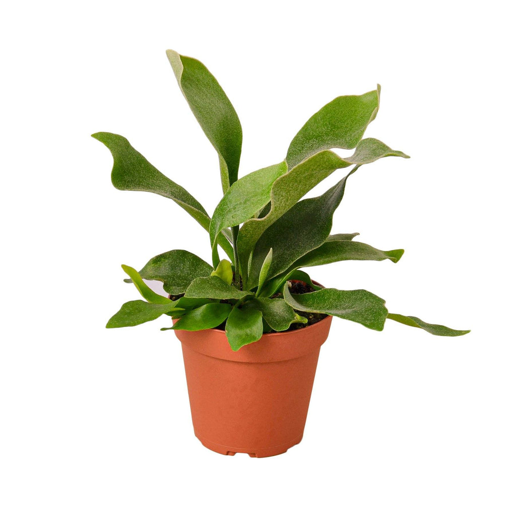 Staghorn Fern Indoor Plant-SproutSouth-Indoor Plants