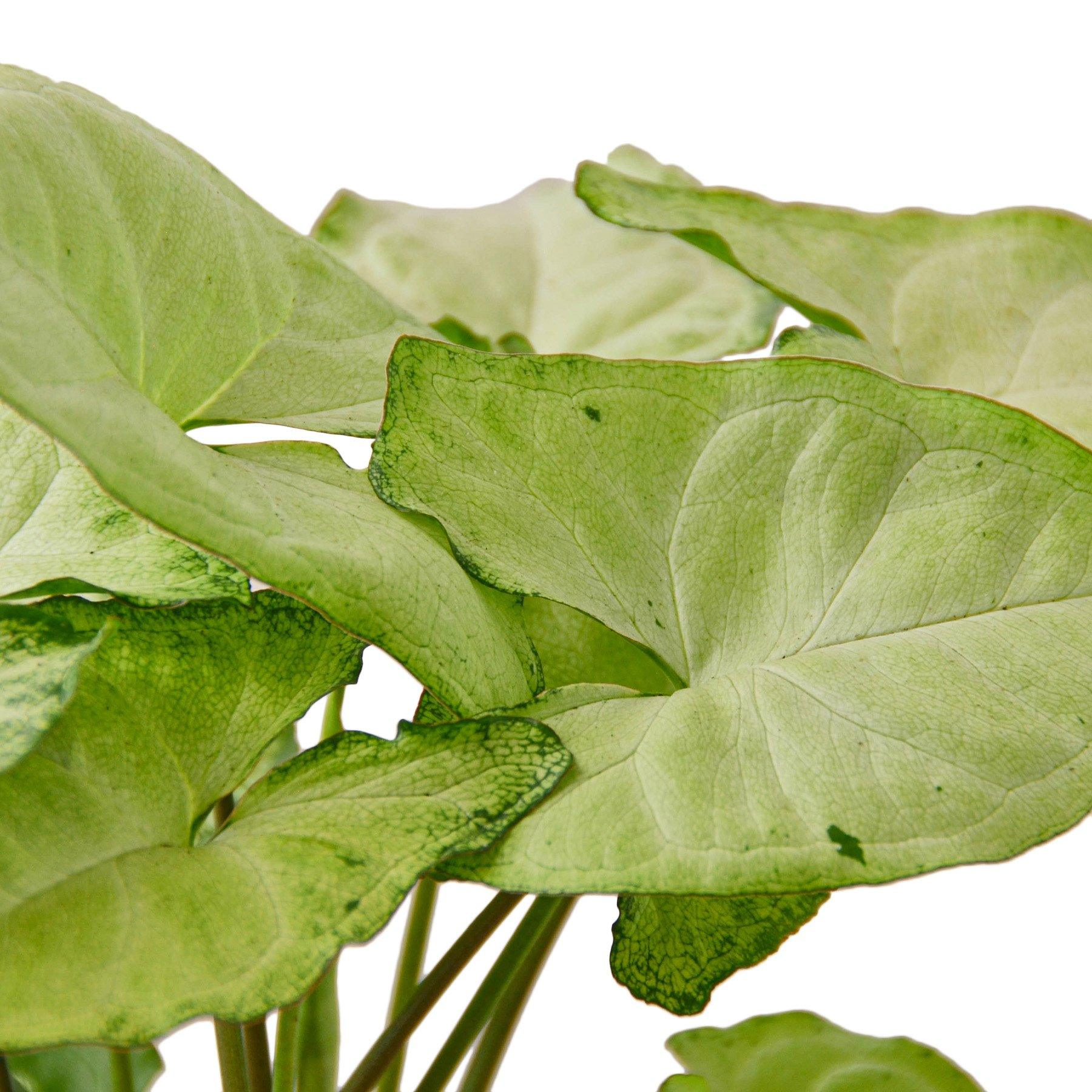 Syngonium White Butterfly Indoor Plant-SproutSouth-Indoor Plants