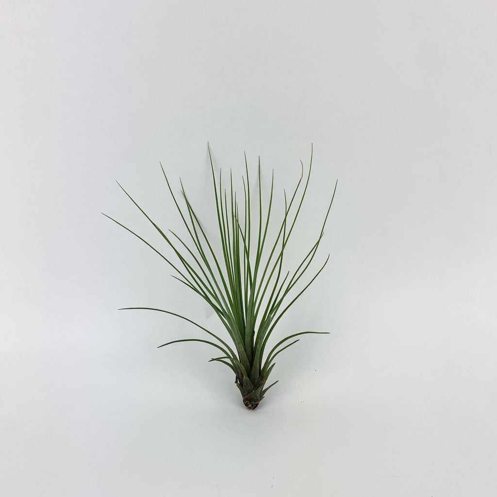 Tall Tillandsia-SproutSouth-Plant