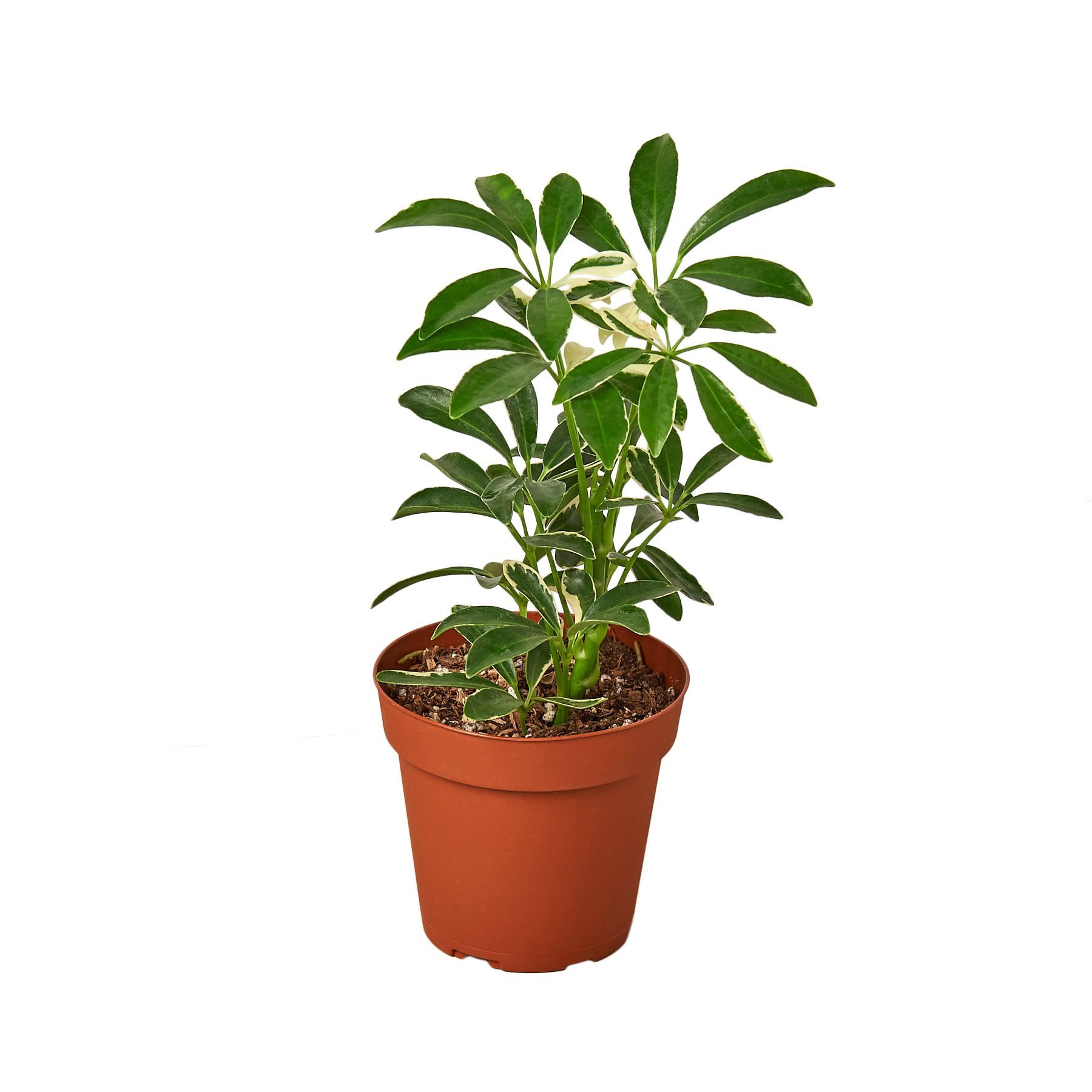 Varigated Schefflera Arboricola 'Moonlight' Indoor Houseplant-SproutSouth-Plant