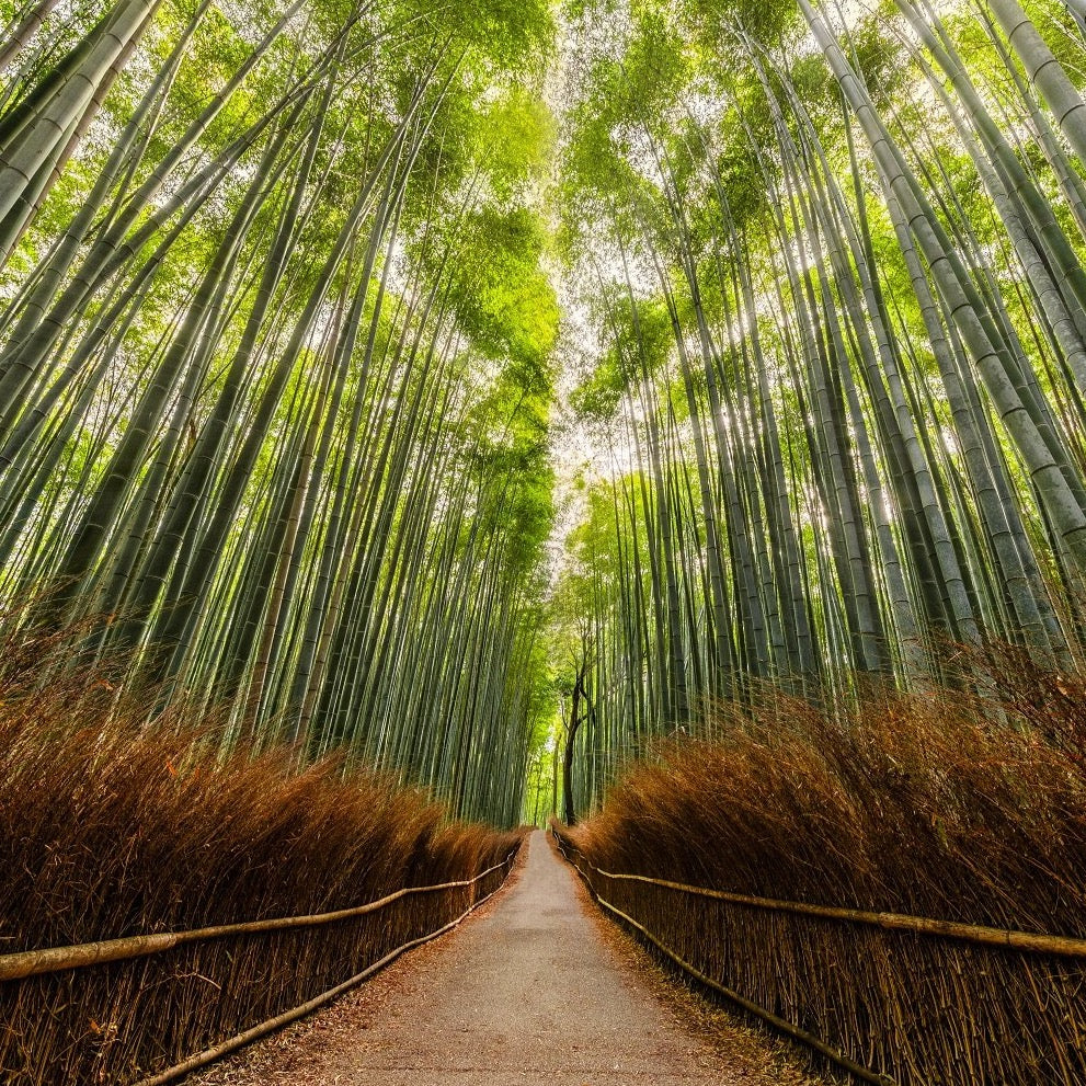 """Arashiyama Bamboo Forest"" by Armand Nour 