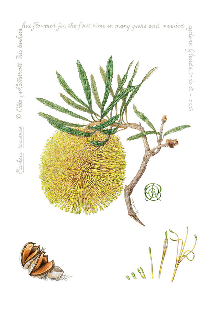 Banksia rosserae (Named in artist honour)