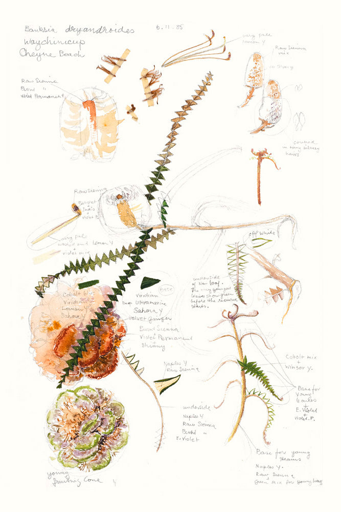 Banksia dryadroides (field notes)
