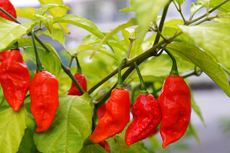 Sriracha2Go Blog: How Hot Is Sriracha on Scoville Scale?