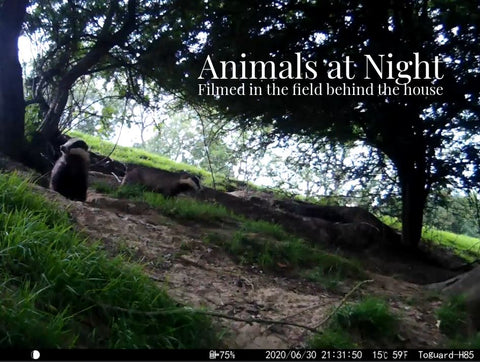 Badger Set Night Filming and Evening Walk