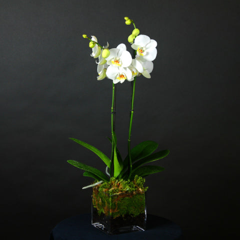 Double Stem Orchid