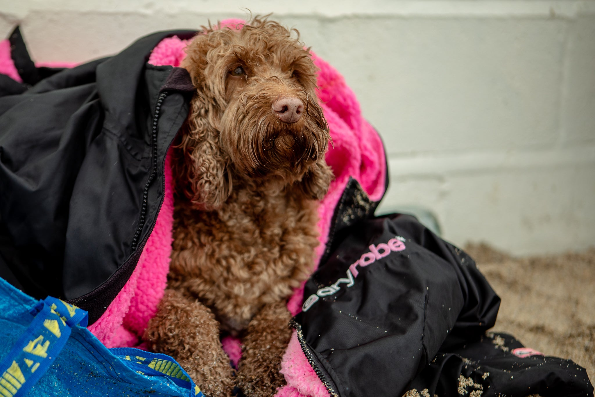 Dog staying warm in a dryrobe at English National Surf Championship 2020